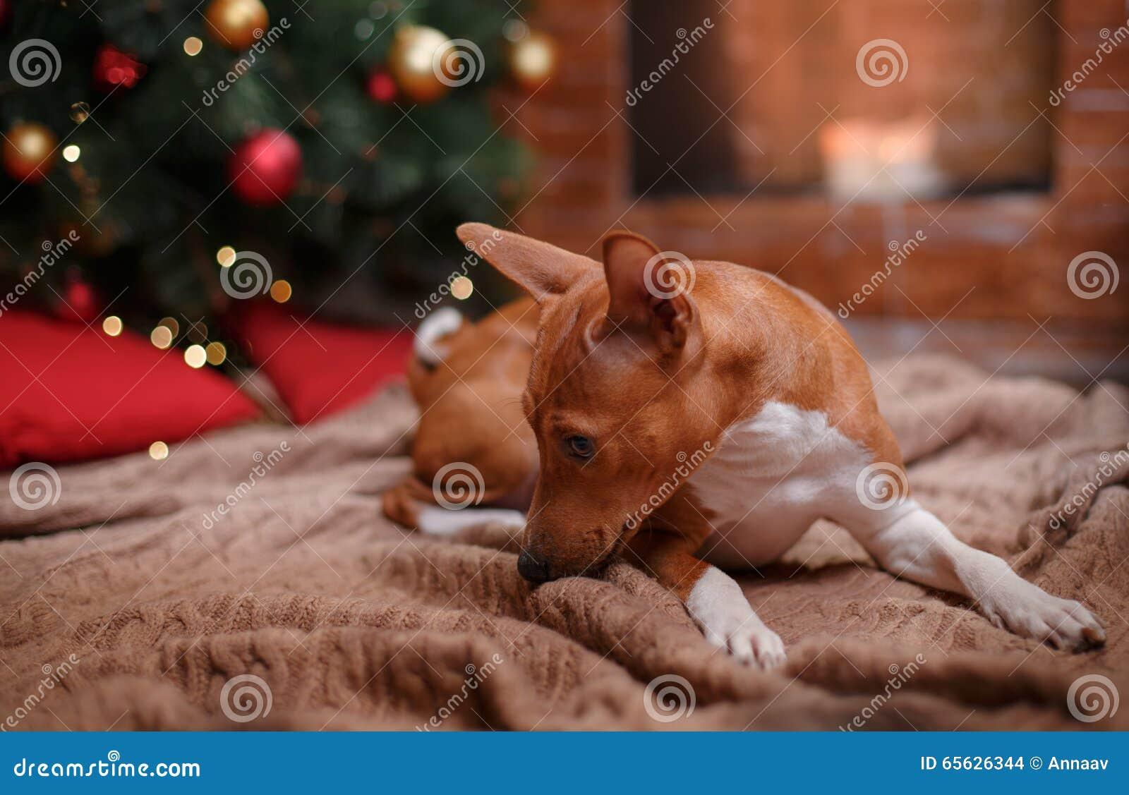 Poursuivez la race Basenji, le Noël et la nouvelle année