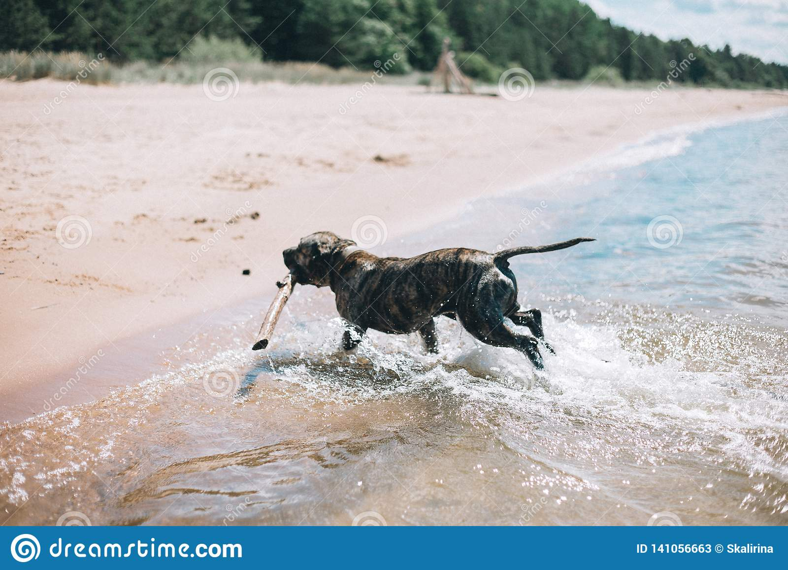 Poursuivez le fonctionnement sur la plage avec un bâton Chien terrier de Staffordshire américain