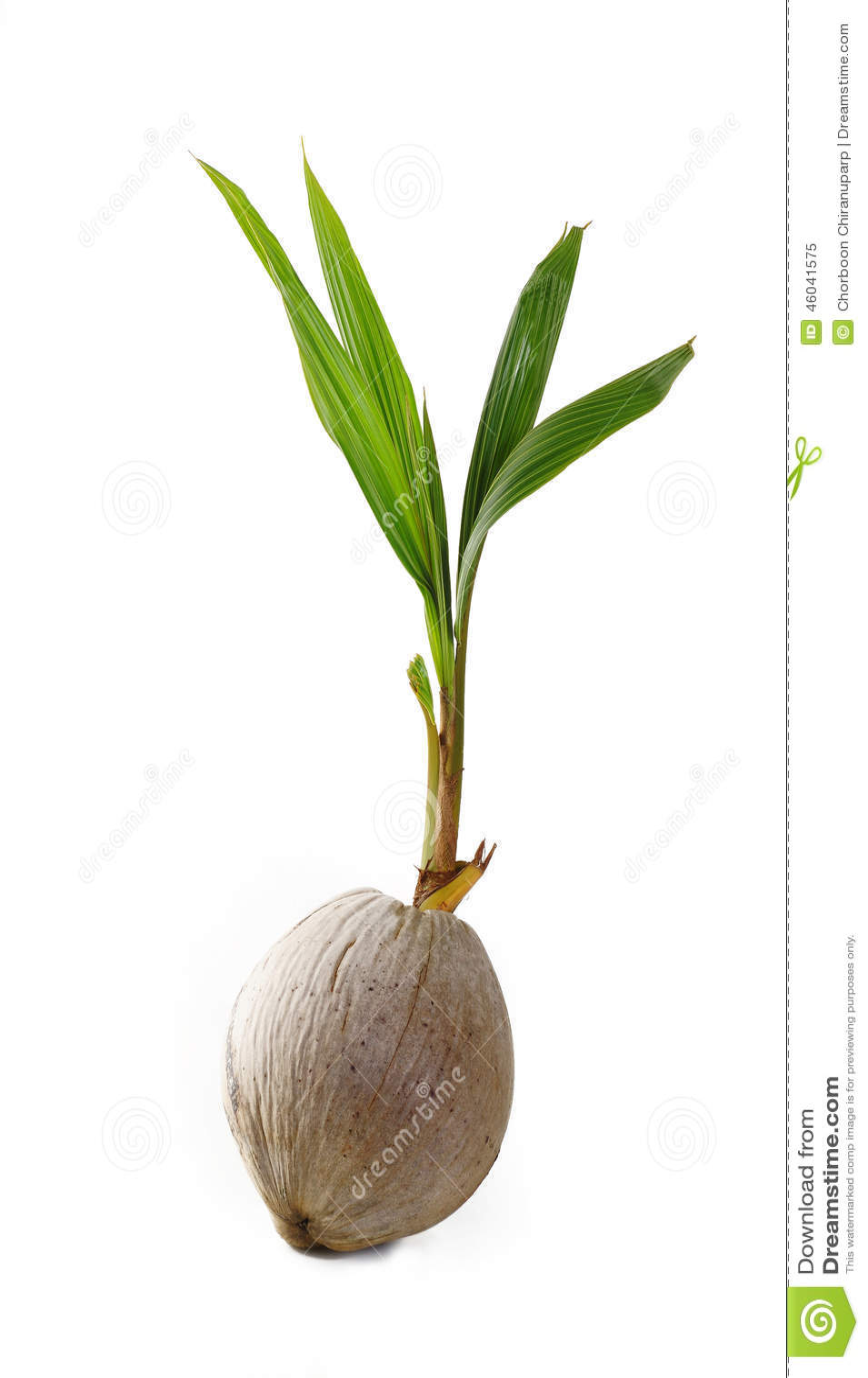Pousse d 39 arbre de noix de coco photo stock image 46041575 - Arbre noix de coco ...