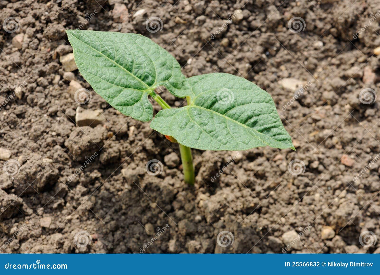 pousse de plante de haricot photo stock image 25566832. Black Bedroom Furniture Sets. Home Design Ideas