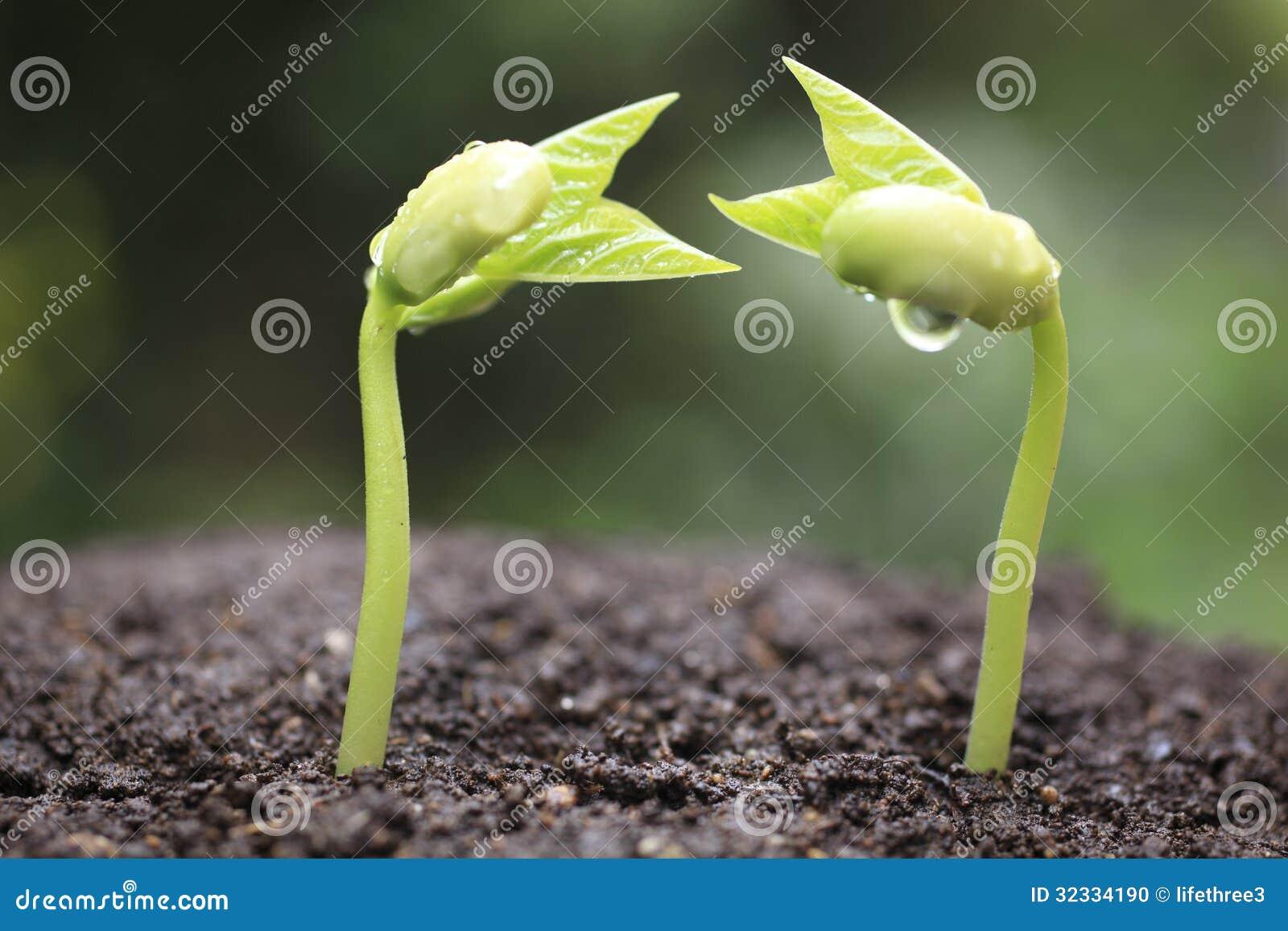 Pousse des haricots nains photo stock image du environnement 32334190 - Planter des haricots nains ...