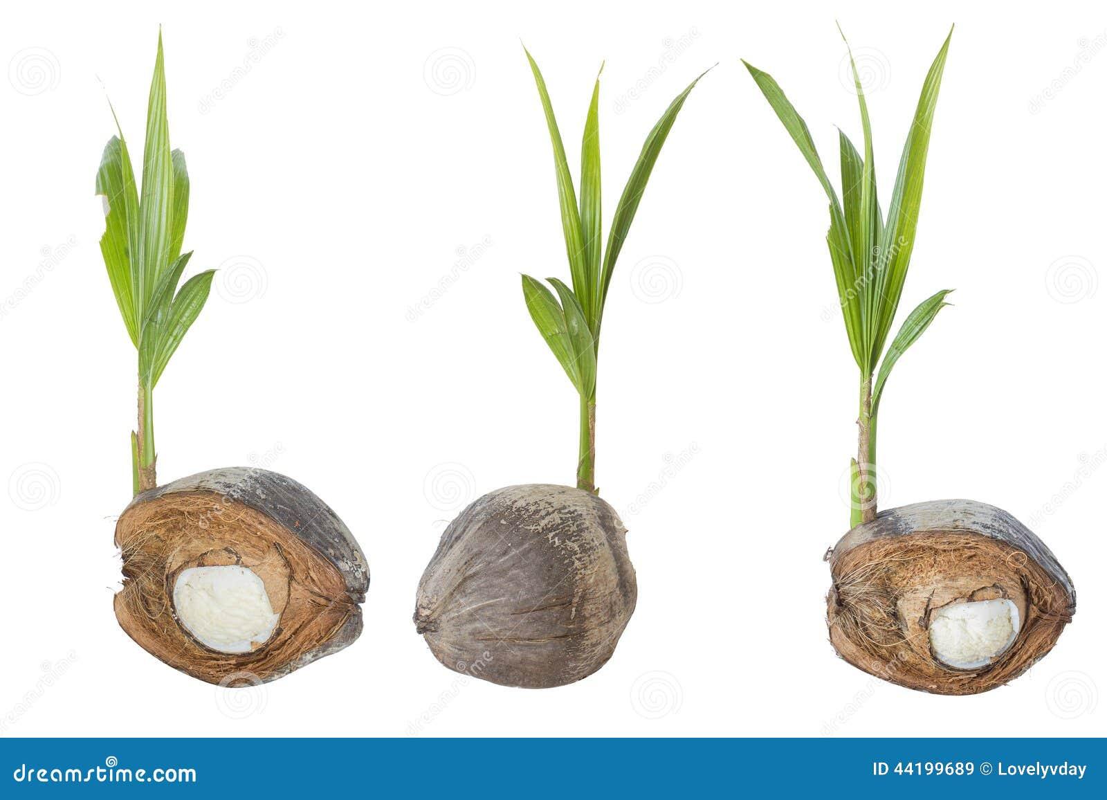 Pousse et bourgeon d 39 embryon d 39 arbre de noix de coco sur le fond blanc photo stock image 44199689 - Arbre noix de coco ...