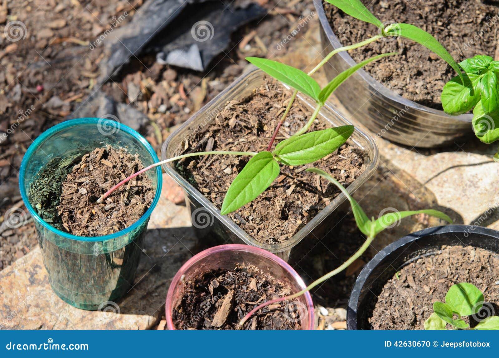 pousses de haricot vert s 39 levant dans des pots photo stock image du sain herbe 42630670. Black Bedroom Furniture Sets. Home Design Ideas