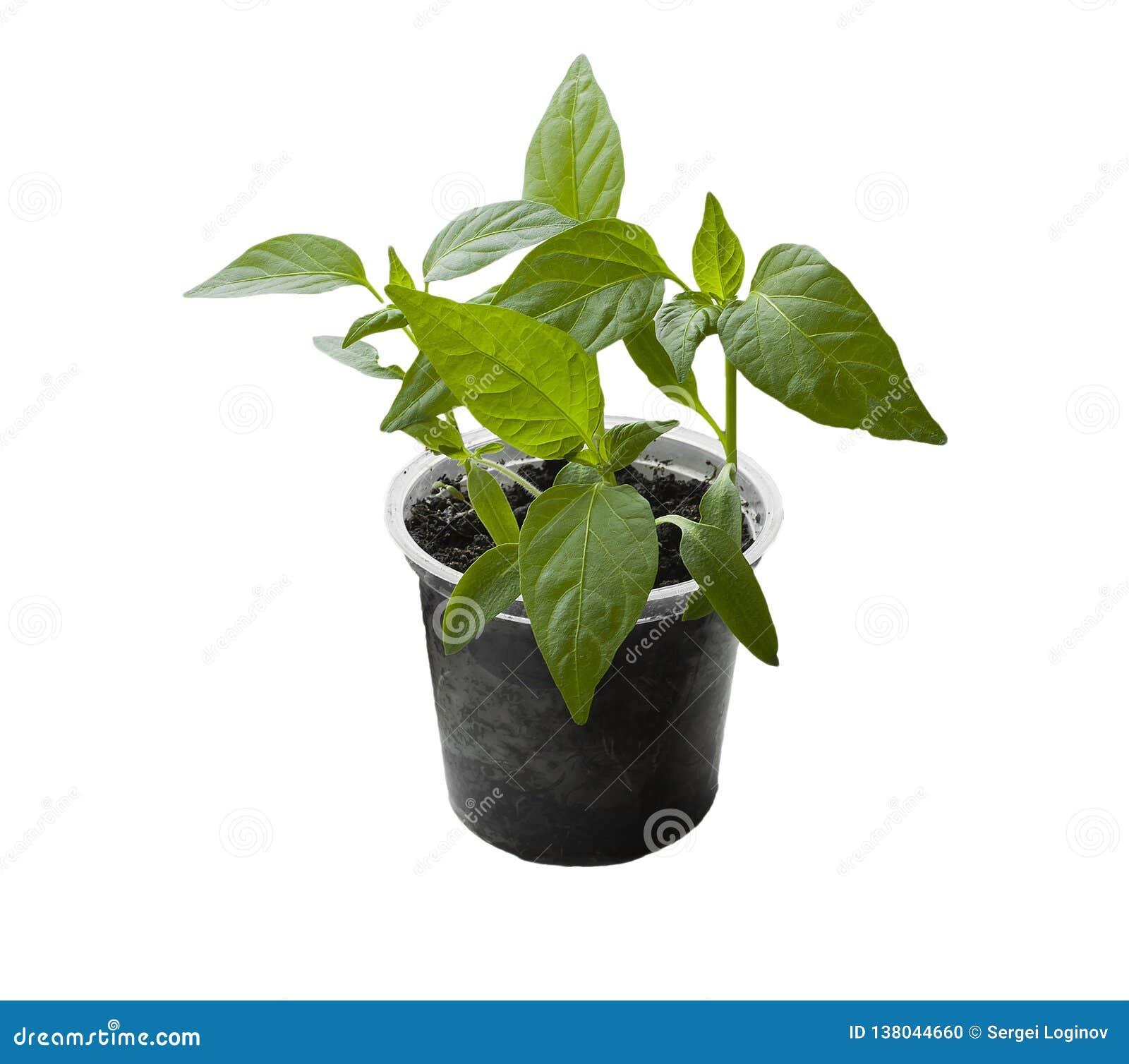 Pousses de paprika dans un pot transparent d isolement