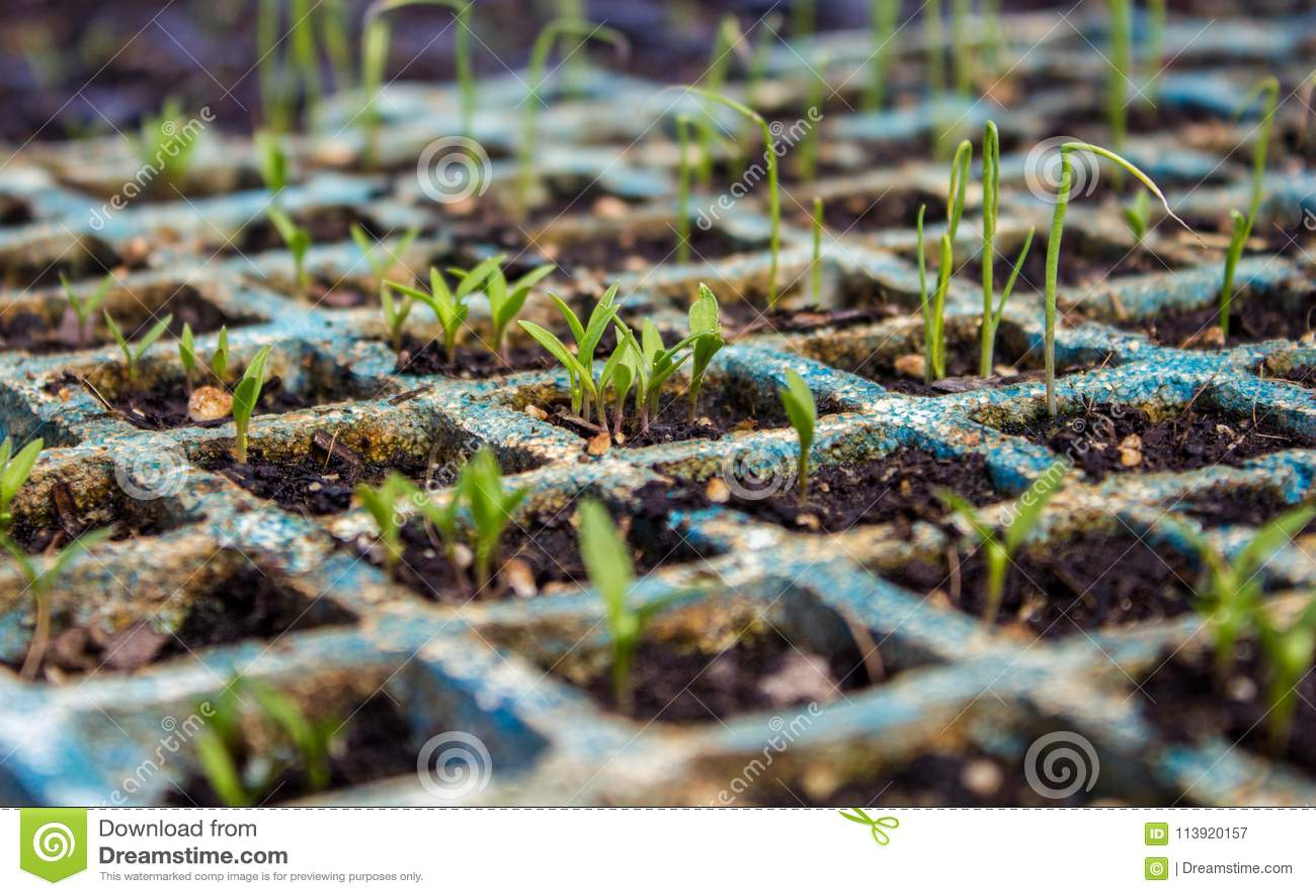 Pousses de persil et de poireau sur le semis