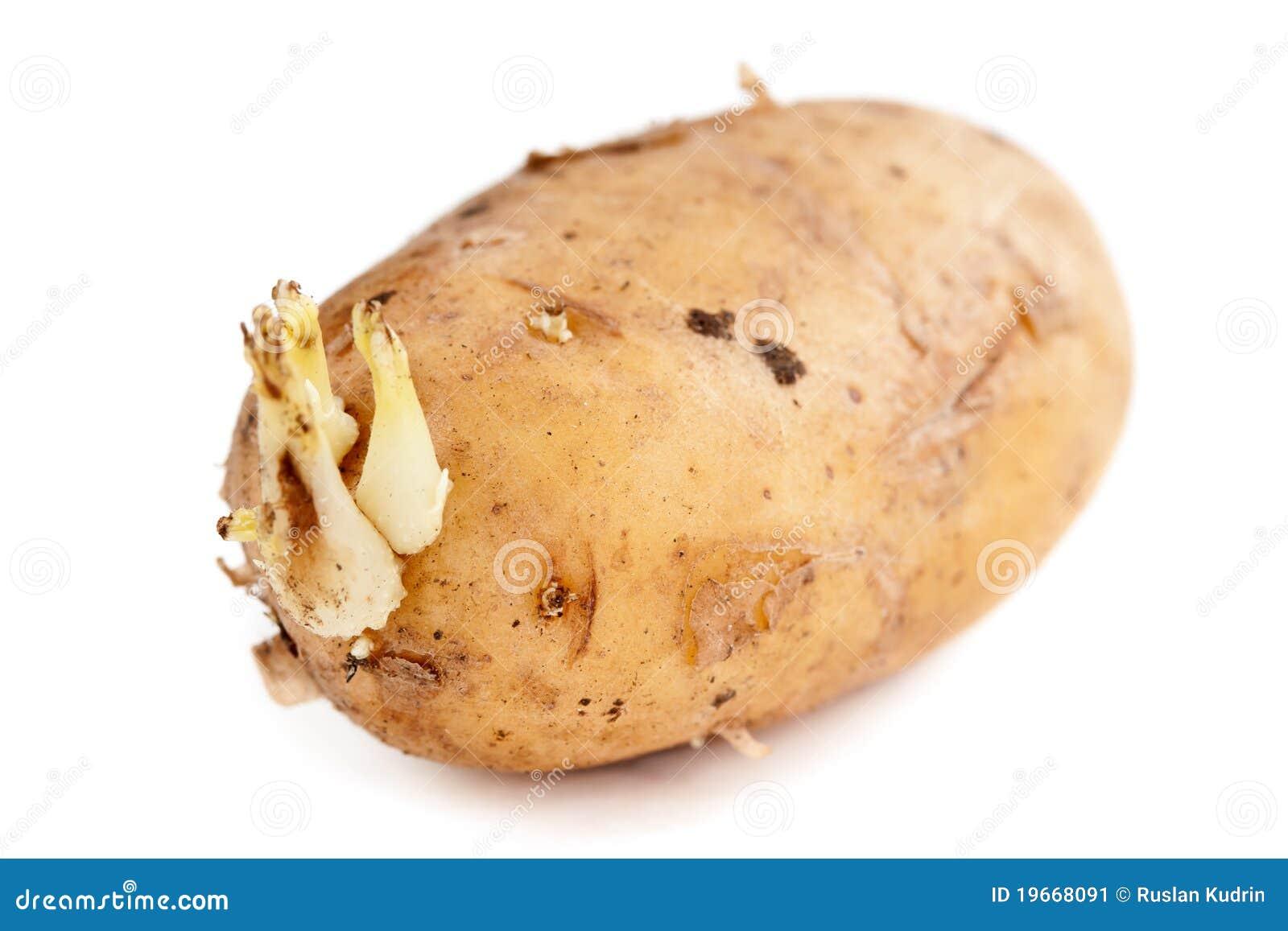 Pousses de pomme de terre image stock image du sain 19668091 - Pomme de terre germee comestible ...