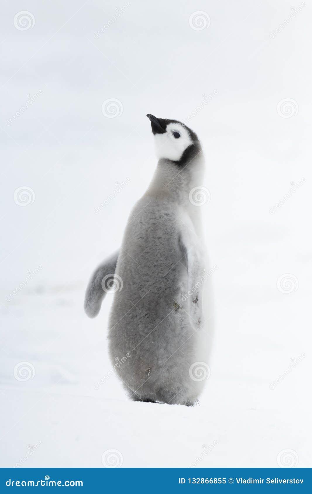 Poussin de pingouin d empereur sur la glace