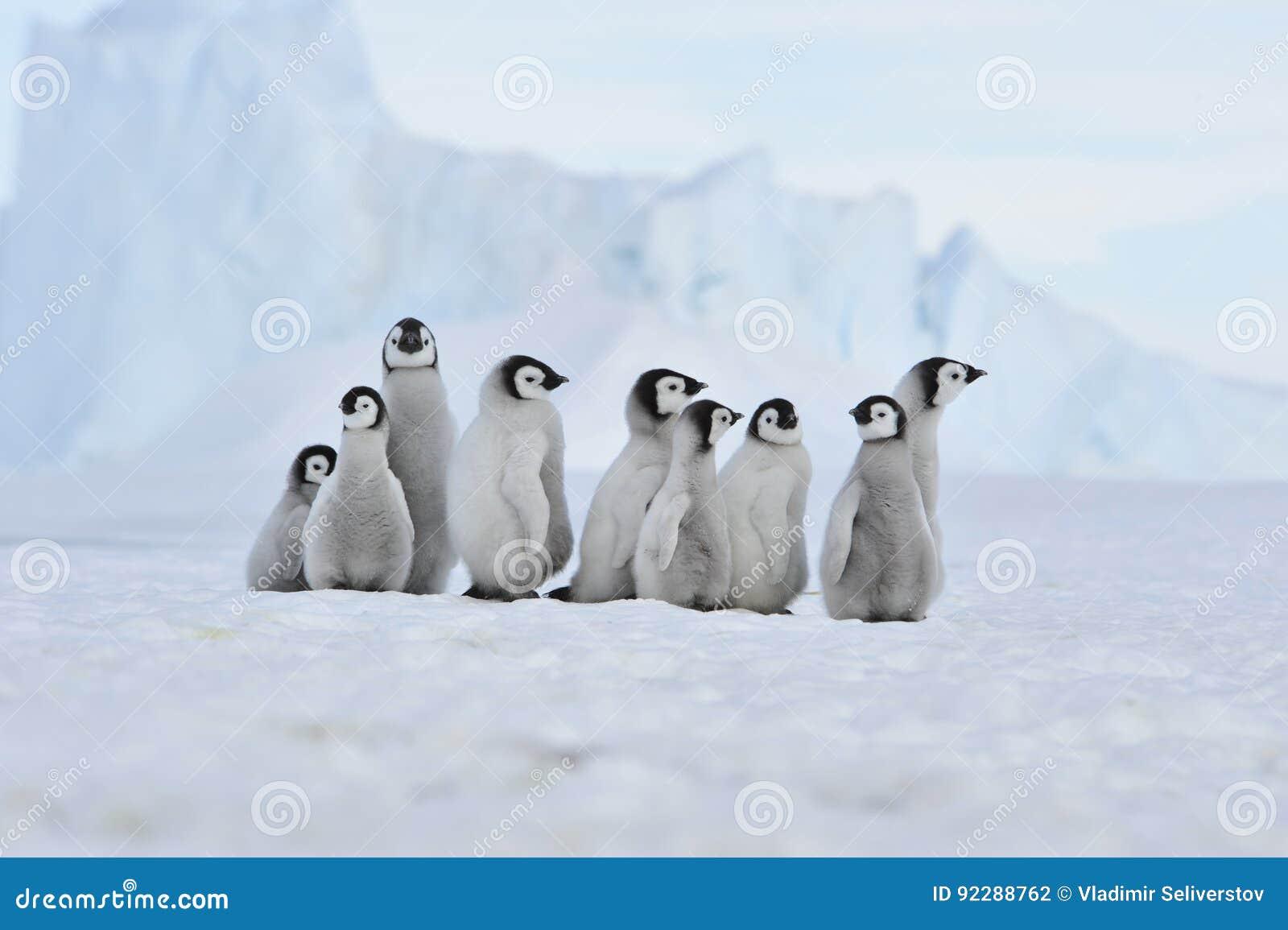Poussins de pingouin d empereur en Antarctique