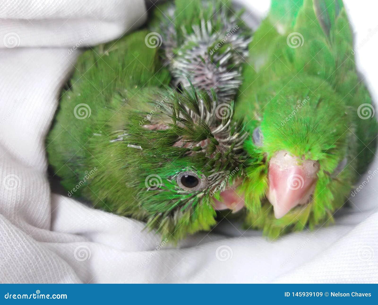 Poussins verts de perroquet