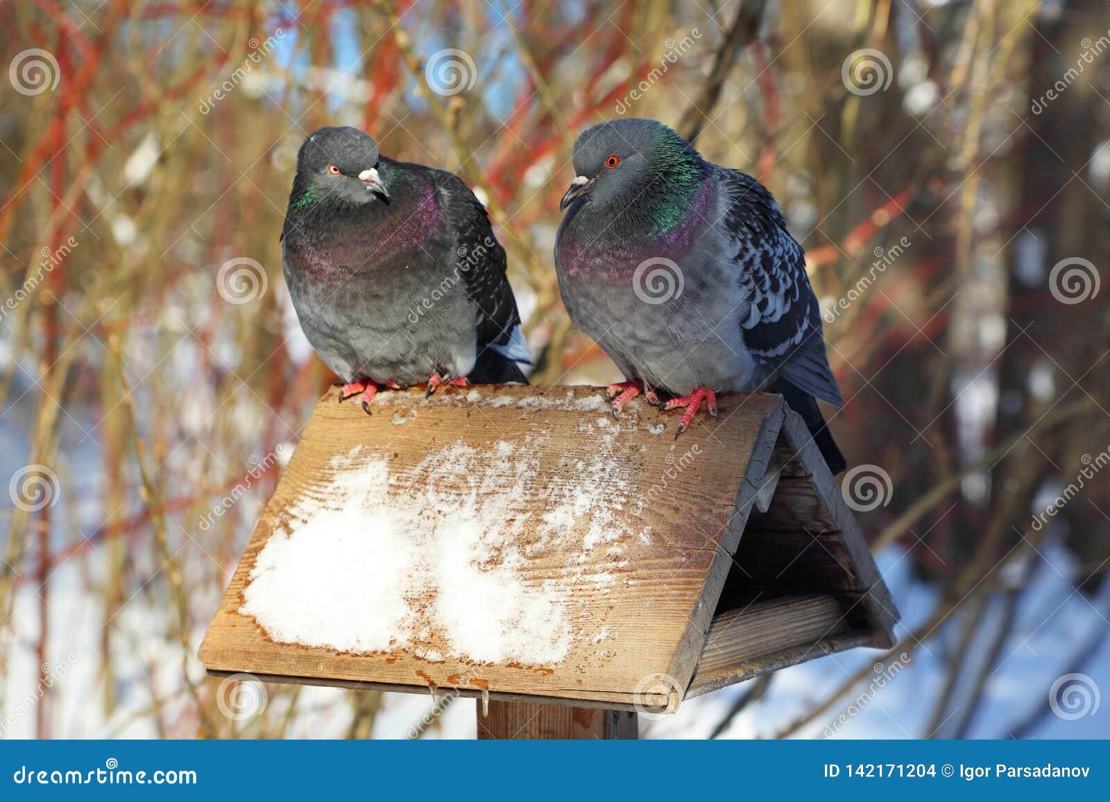 Poważna rozmowa między dwa gołębiami