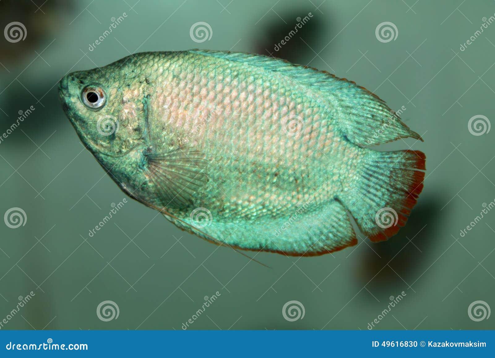 Powder Blue Dwarf Gourami Aquarium Fish Stock Photo