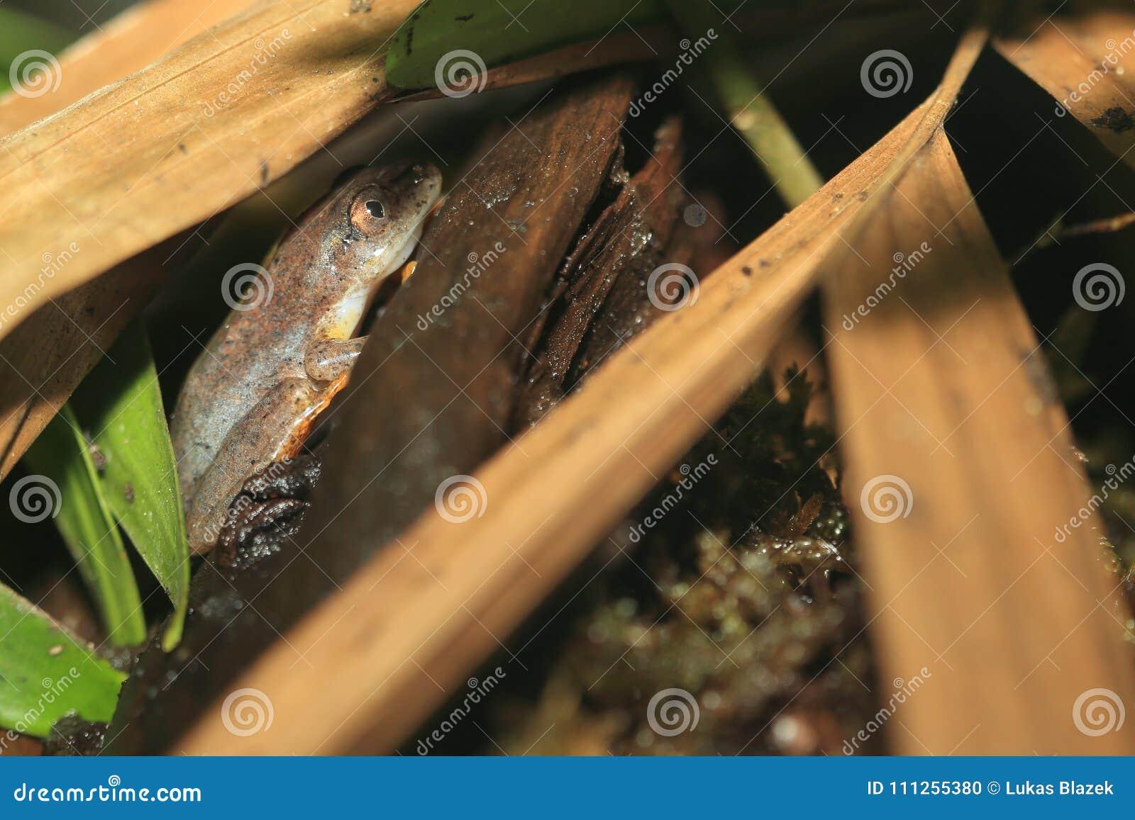 Powder-blue reed frog