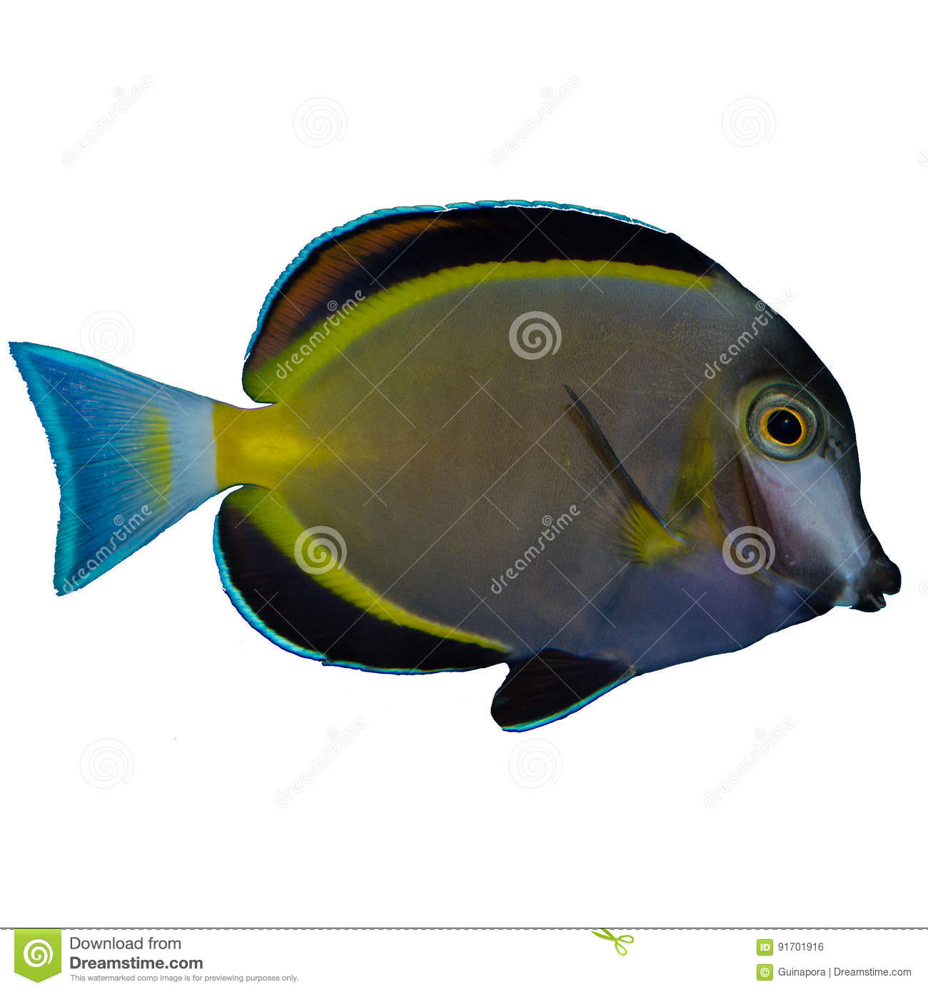 Powder Brown Tang Isolated