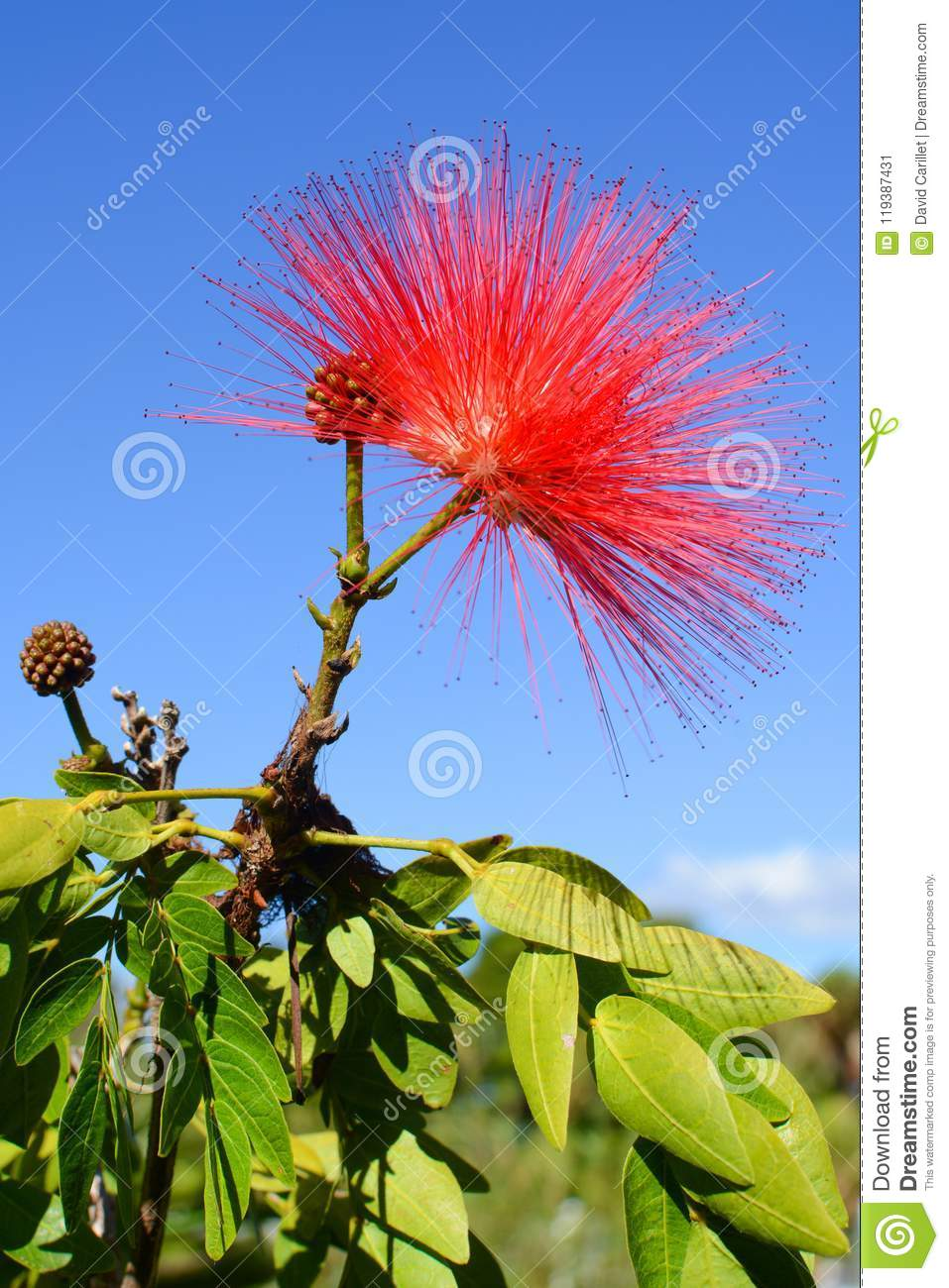 Powder Puff Plant With Delicate Red Flower Known By The Scientific