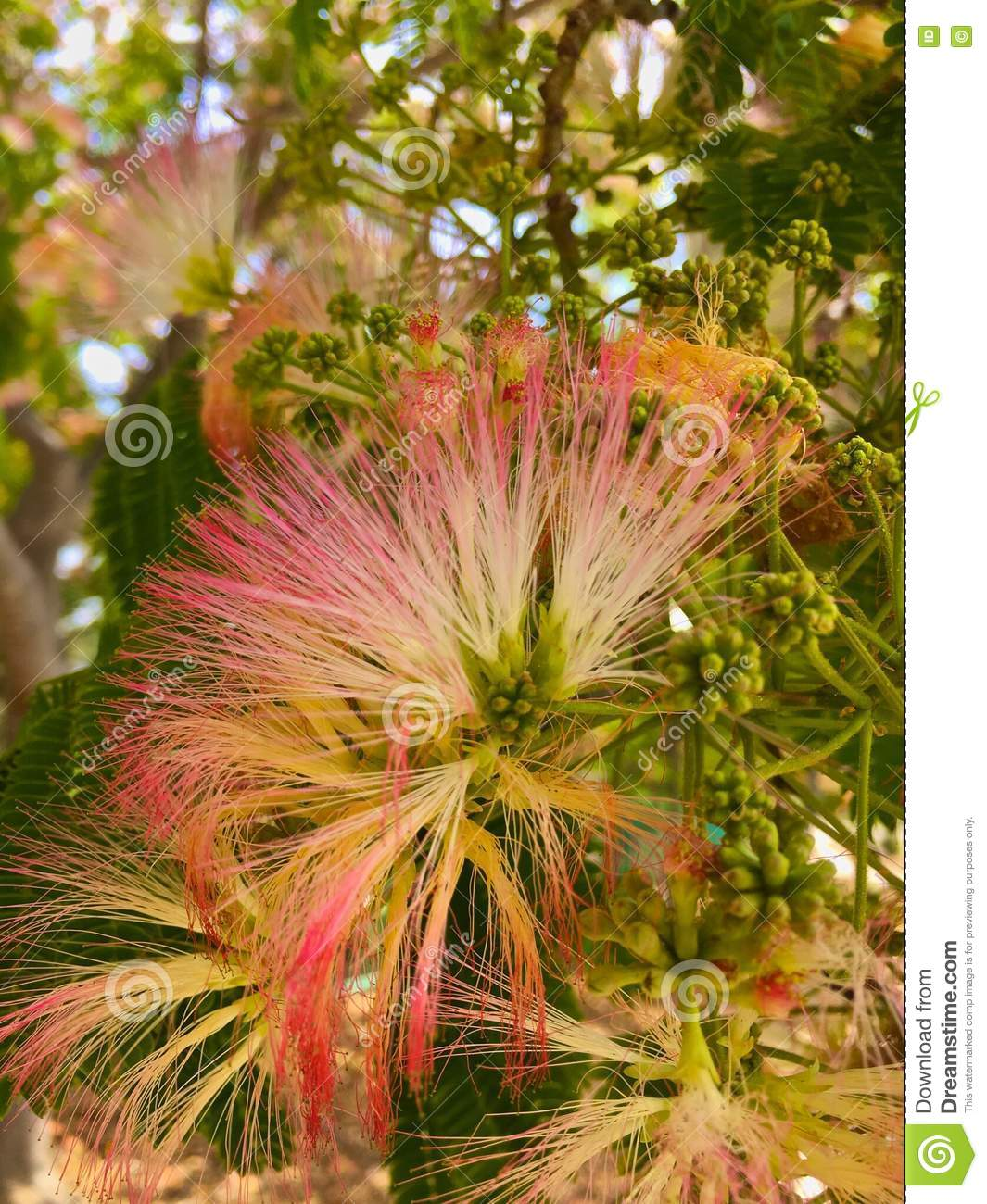 Powder Puff Tree Flowers Stock Image Image Of Tree Fluffy 72856597