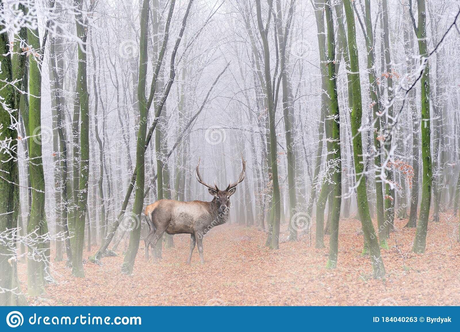 2 991 Deer Forest Fog Photos Free Royalty Free Stock Photos From Dreamstime Dawn forest deer trees fog nature