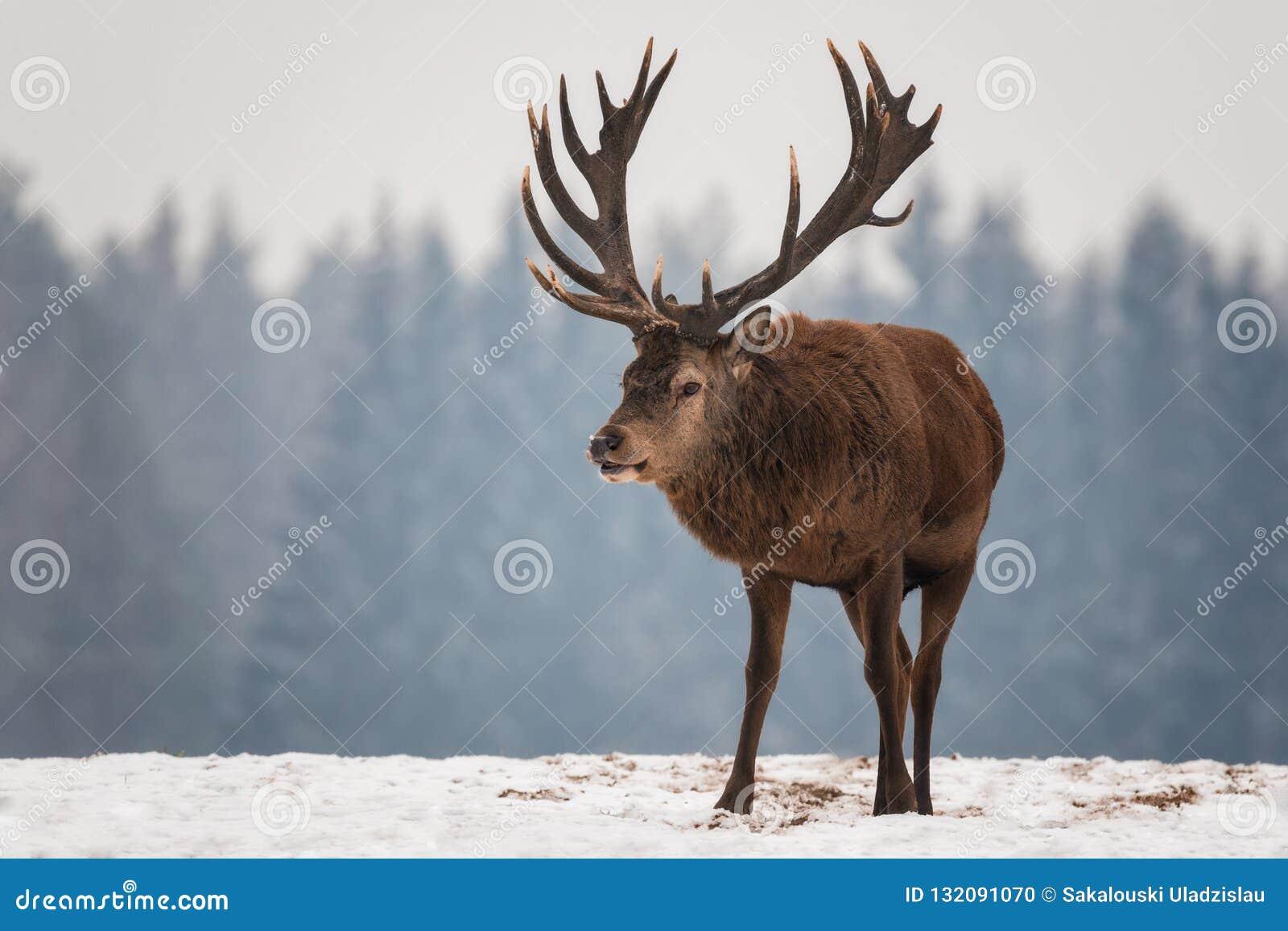 Powerful Adult Noble Deer Cervus Elaphus With Big Horns, Beautifully Turned Head. European Wildlife Landscape With Deer Stag.