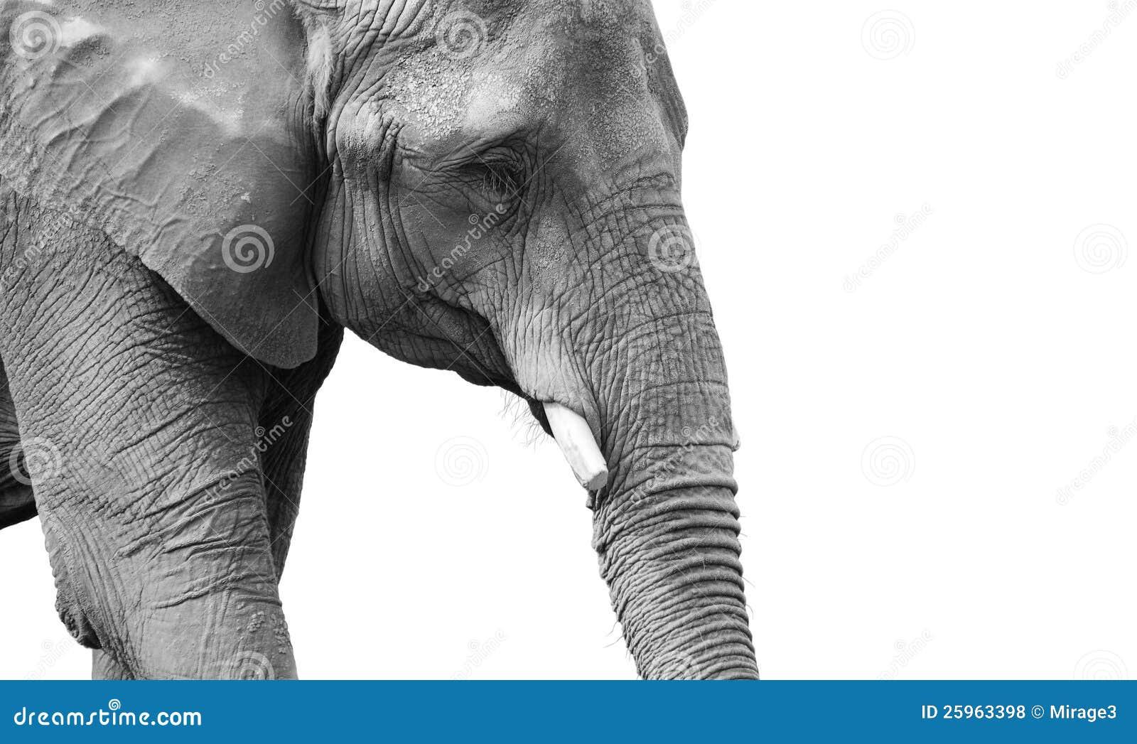 Powerful black and white elephant portrait