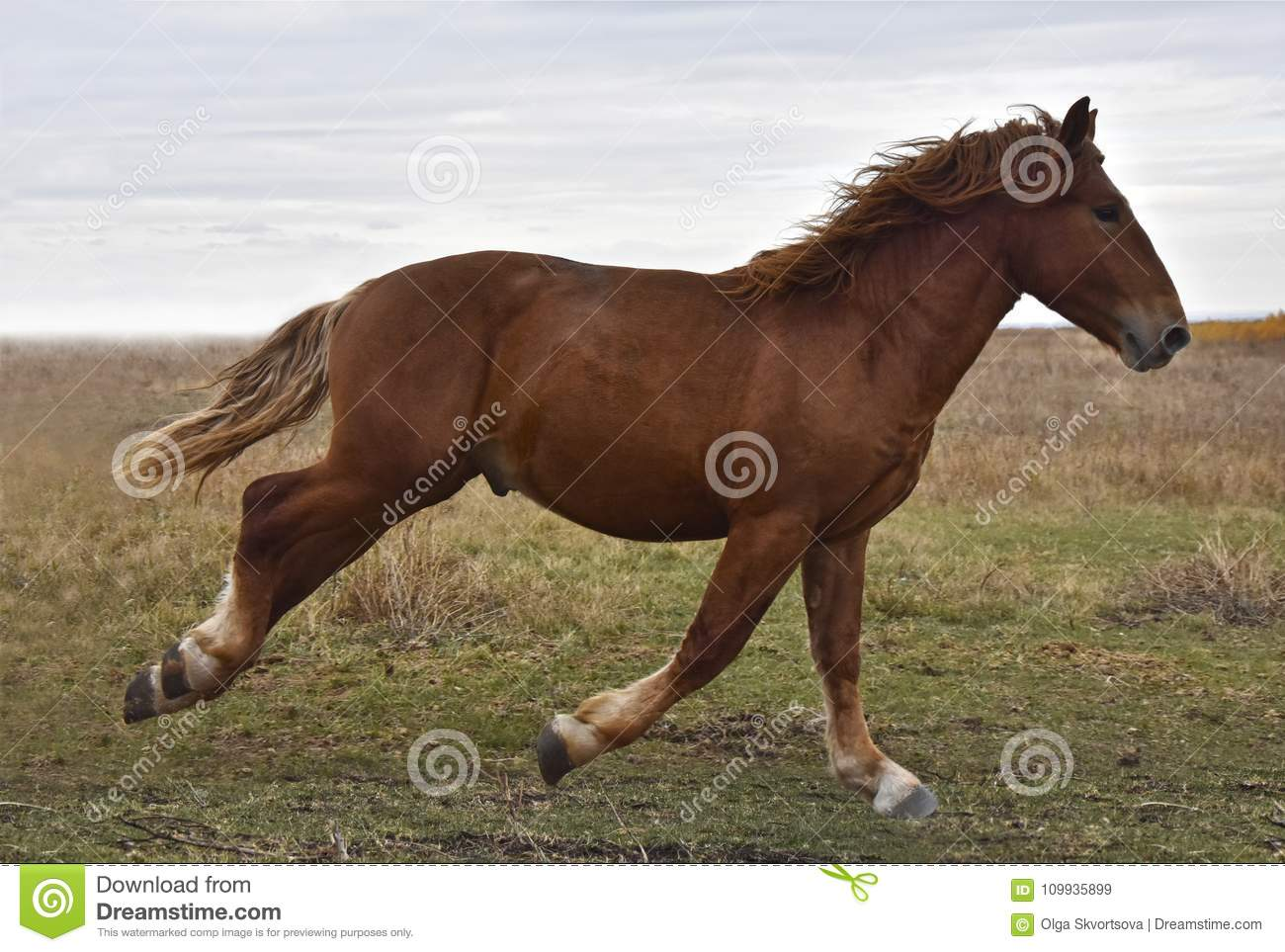 Powerful Strong Horse Breeds Russian Heavy Duty Stock Image Image Of Horizontal Strong 109935899