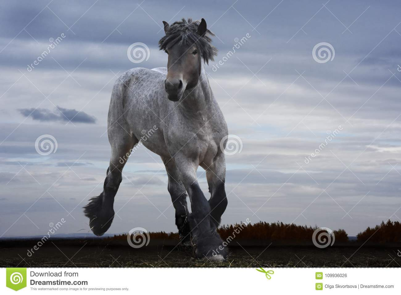 Powerful Strong Horse Breeds Russian Heavy Duty Stock Photo Image Of Horizontal Field 109936026