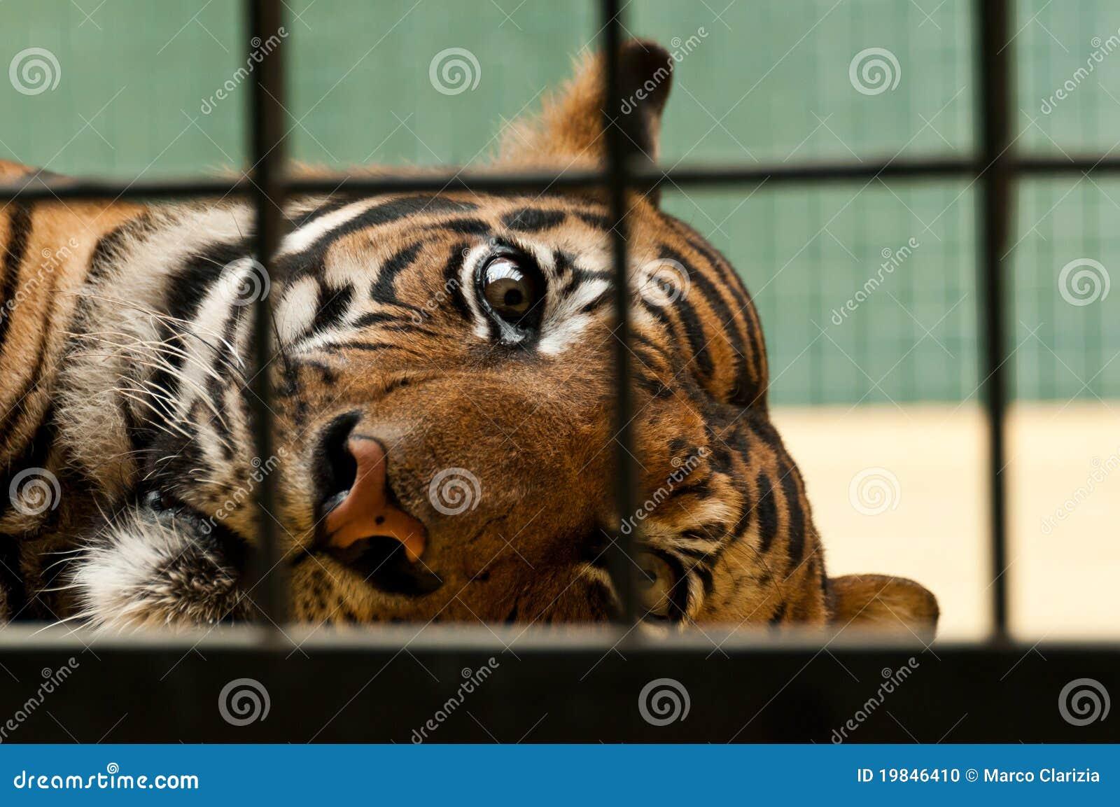 Powerless tiger
