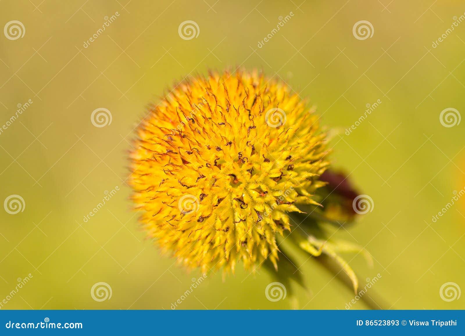 Powszechnego kwiatu perennial