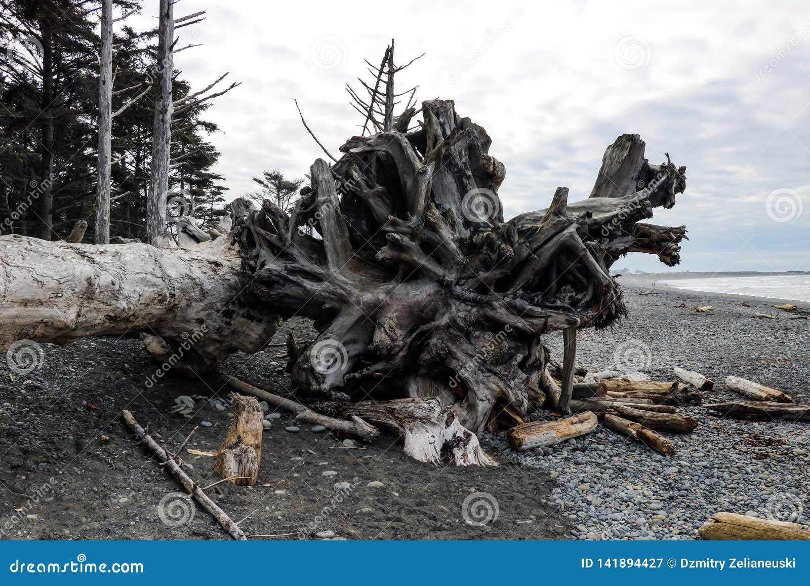Powyginany driftwood i asortowani oceanów gruzy akumulujący na czarnych piaskach Przegrany Brzegowy backpacking ślad