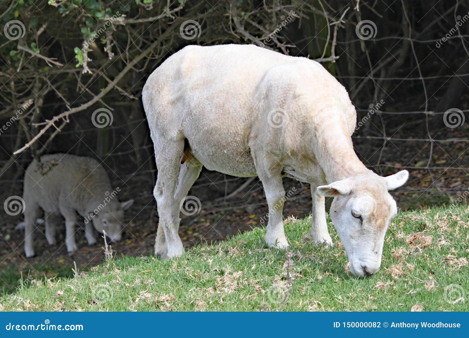 Pozbawiony cakiel pasa na trawie w łące