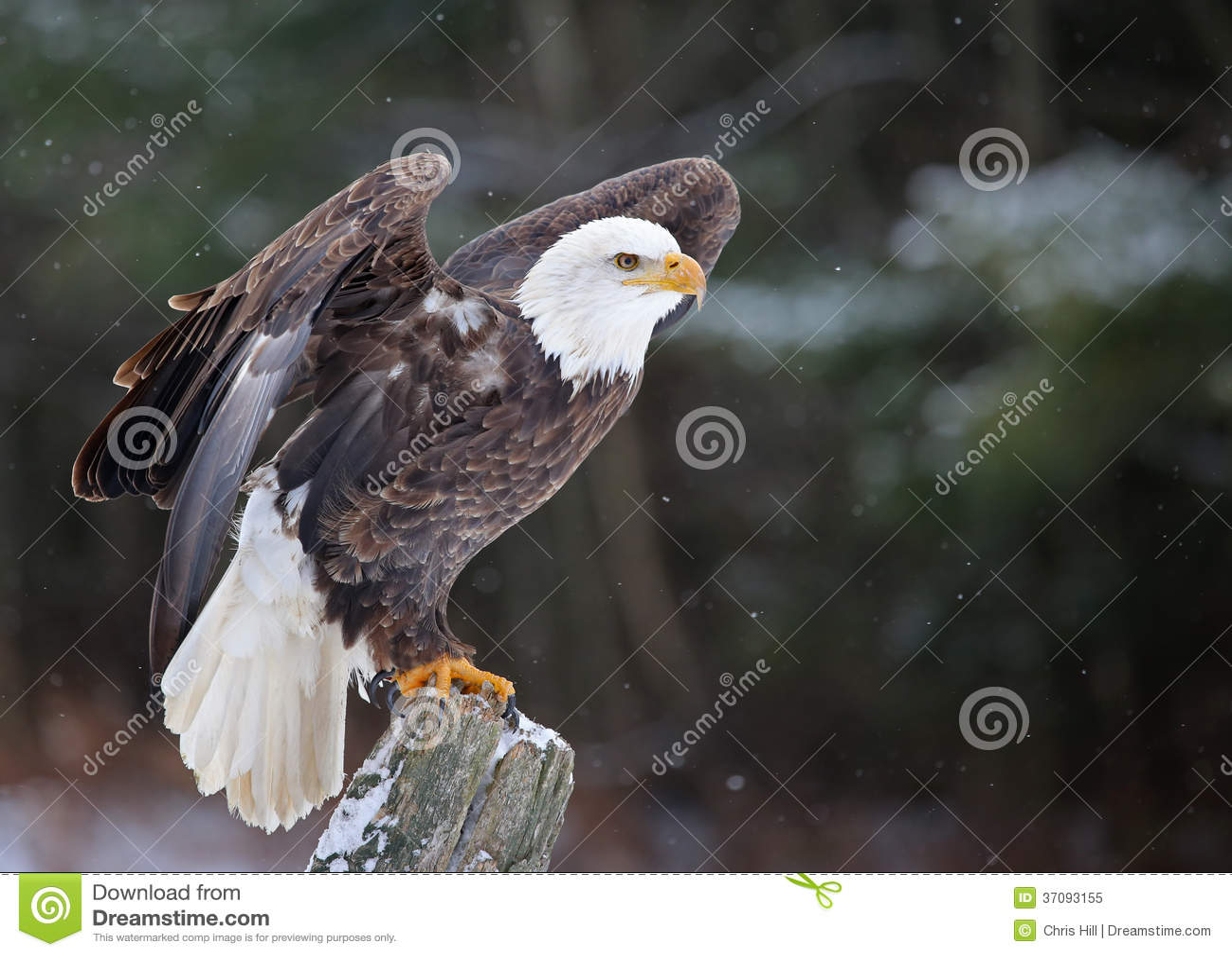 Download Pozujący Łysy Eagle obraz stock. Obraz złożonej z poza - 37093155