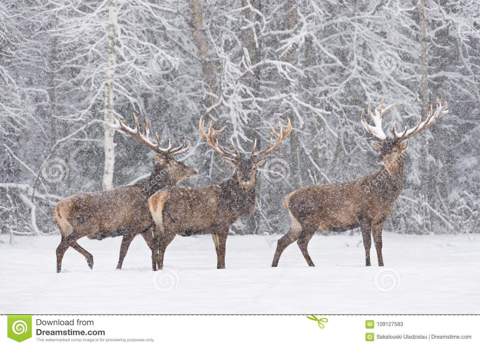 Pozwalać Mnie śnieg: Trzy Czerwonego rogacza jelenia Cervidae śnieżysty stojak Na obrzeżach ForestThree Szlachetny Jeleni Cervus