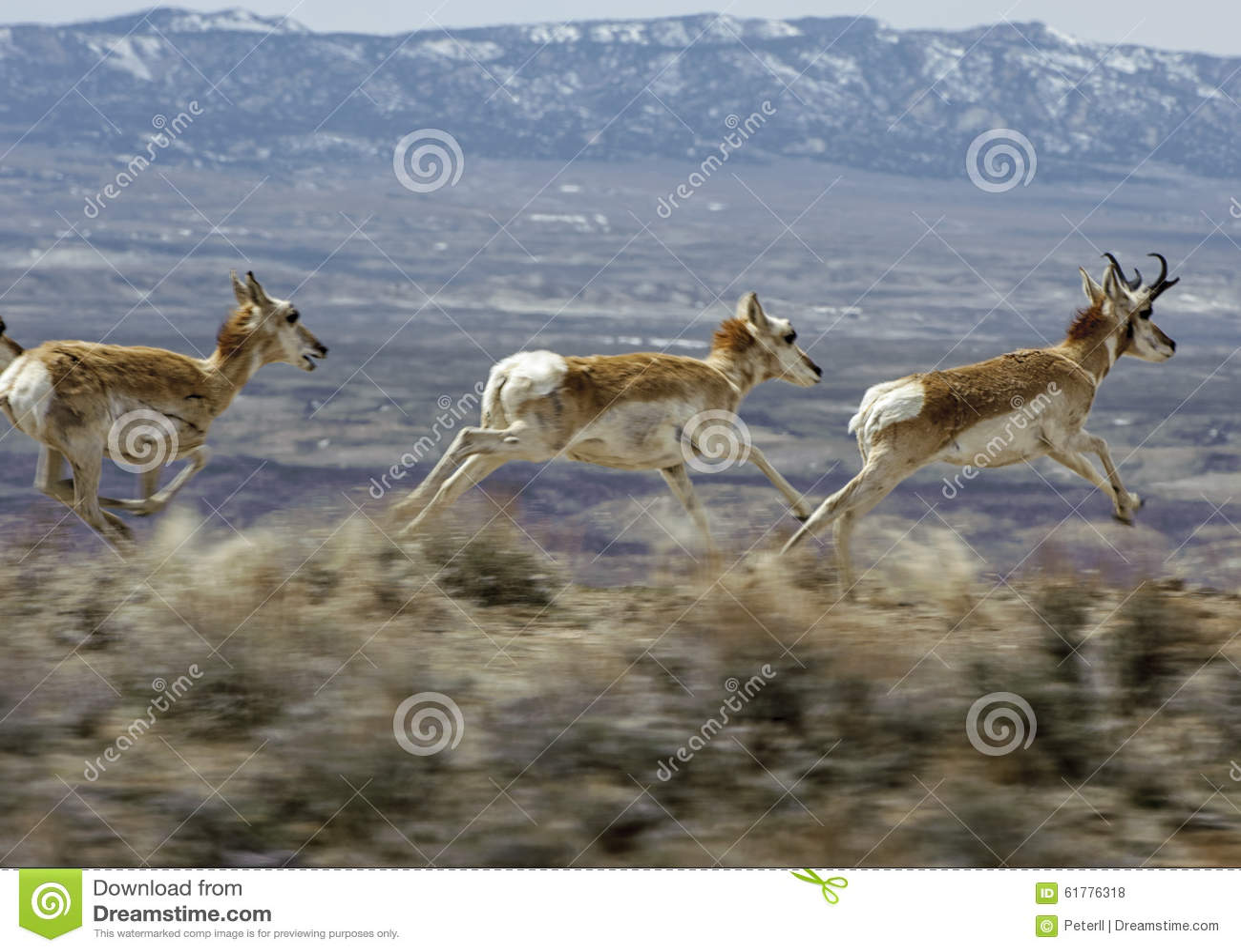 PPronghorn Antelope (Antilocapra americana)