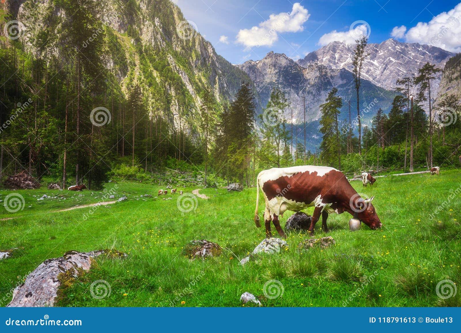 Pré avec des vaches en parc national de Berchtesgaden