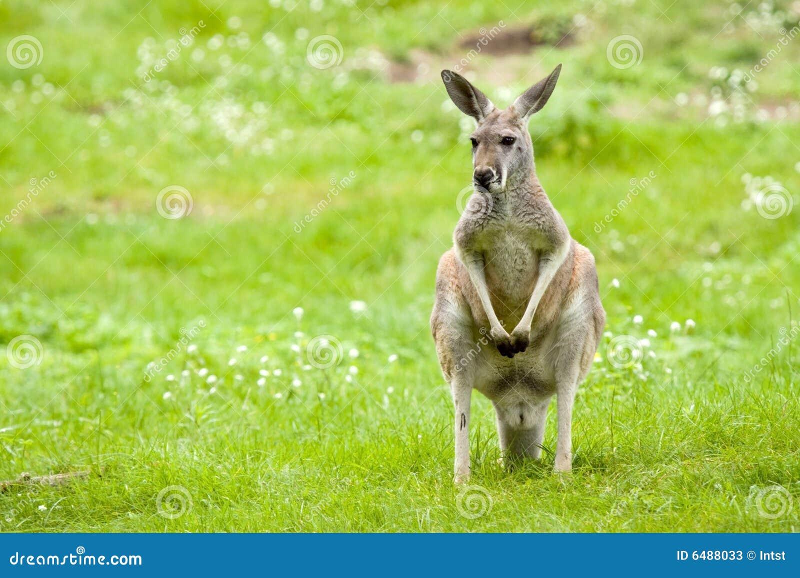 Pré de kangourou