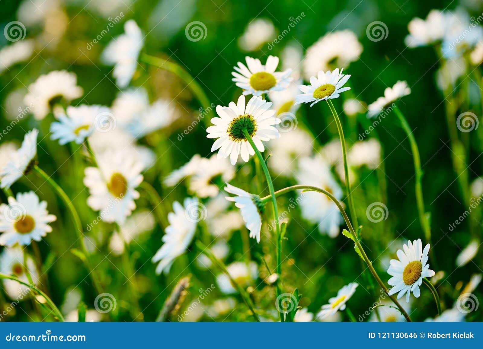 Pré vert et blanc de ressort au soleil - camomille Zone des fleurs de marguerite