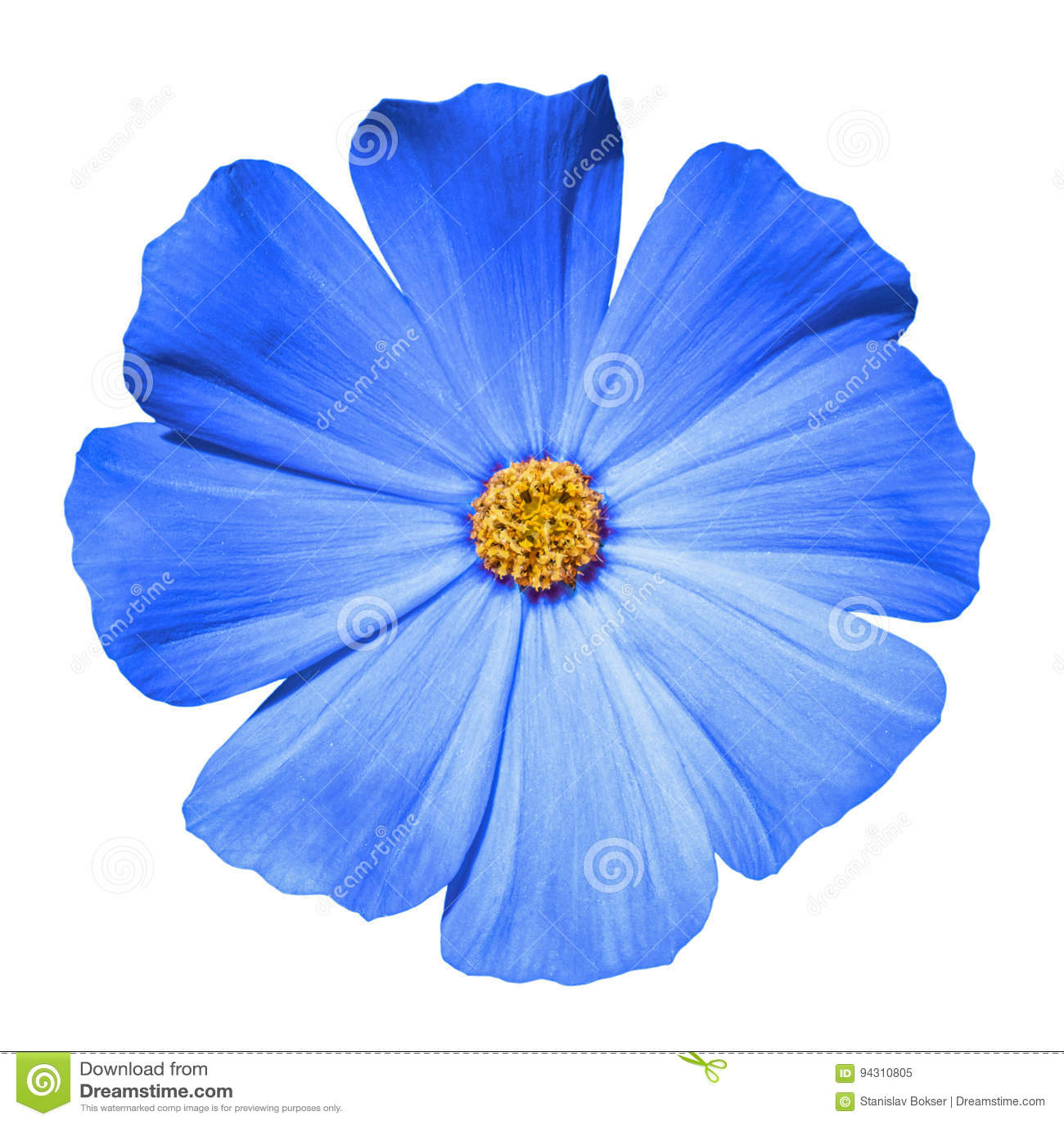 Prímula azul de la flor aislada
