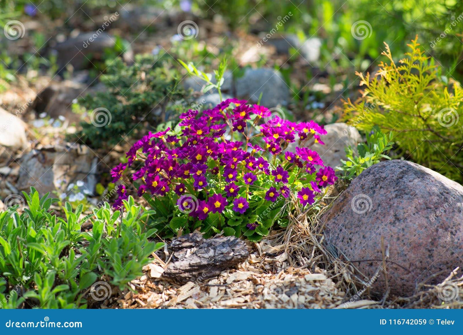 Prímula roxa no jardim ornamental