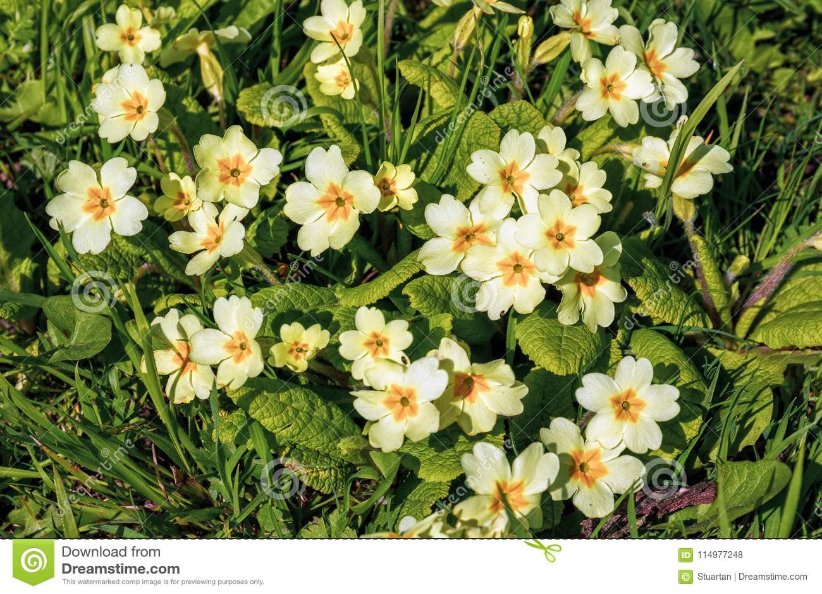 Prímulas selvagens - prímula vulgar, parque de Croome, Worcestershire