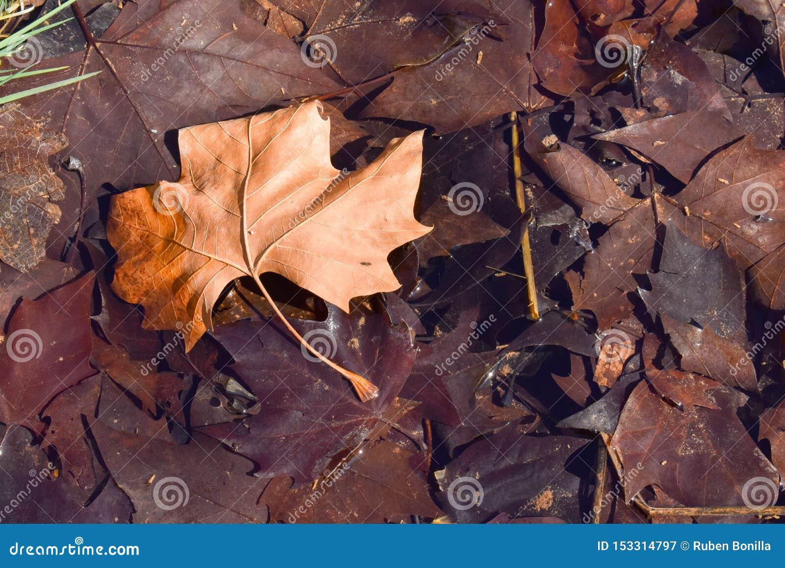 Próximo acima de uma folha seca do marrom do bordo na terra em uma cena de um dia da queda A folha está em outras folhas marrons