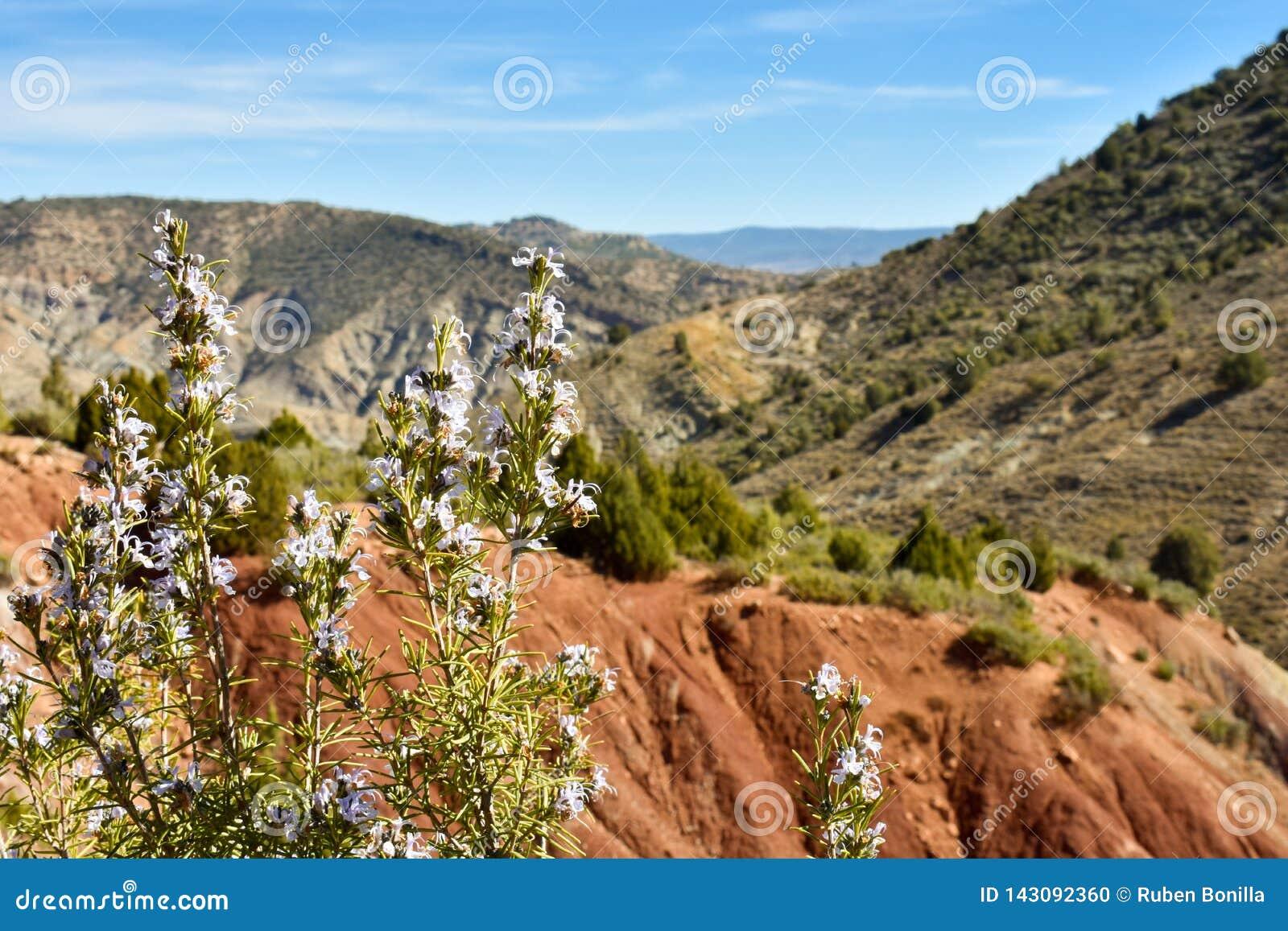 Próximo acima dos galhos de alguns alecrins com as flores roxas na montanha com uma paisagem de campos verdes, de areia da referê