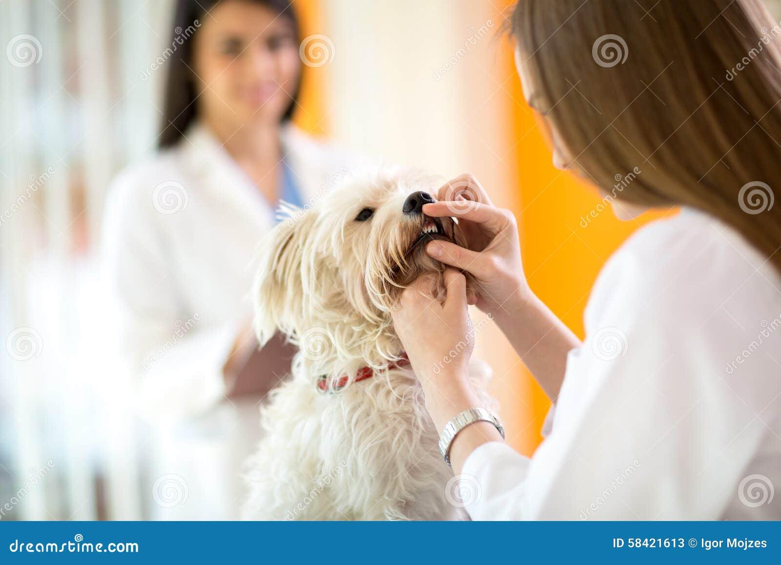 Prüfung von Zähnen des maltesischen Hundes in der Tierarztklinik