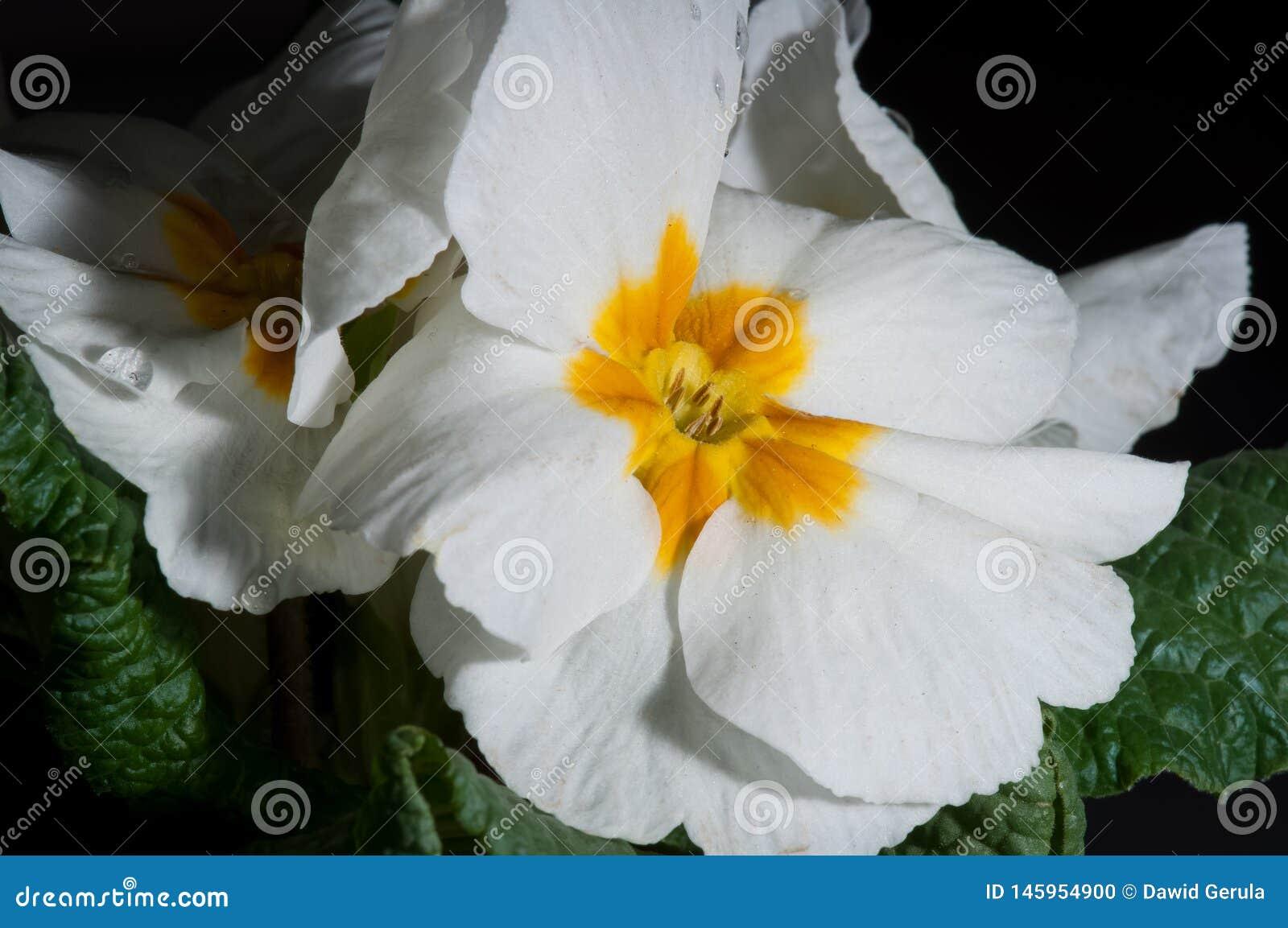 Pr?mula, ou flor com gotas da ?gua, macro da pr?mula