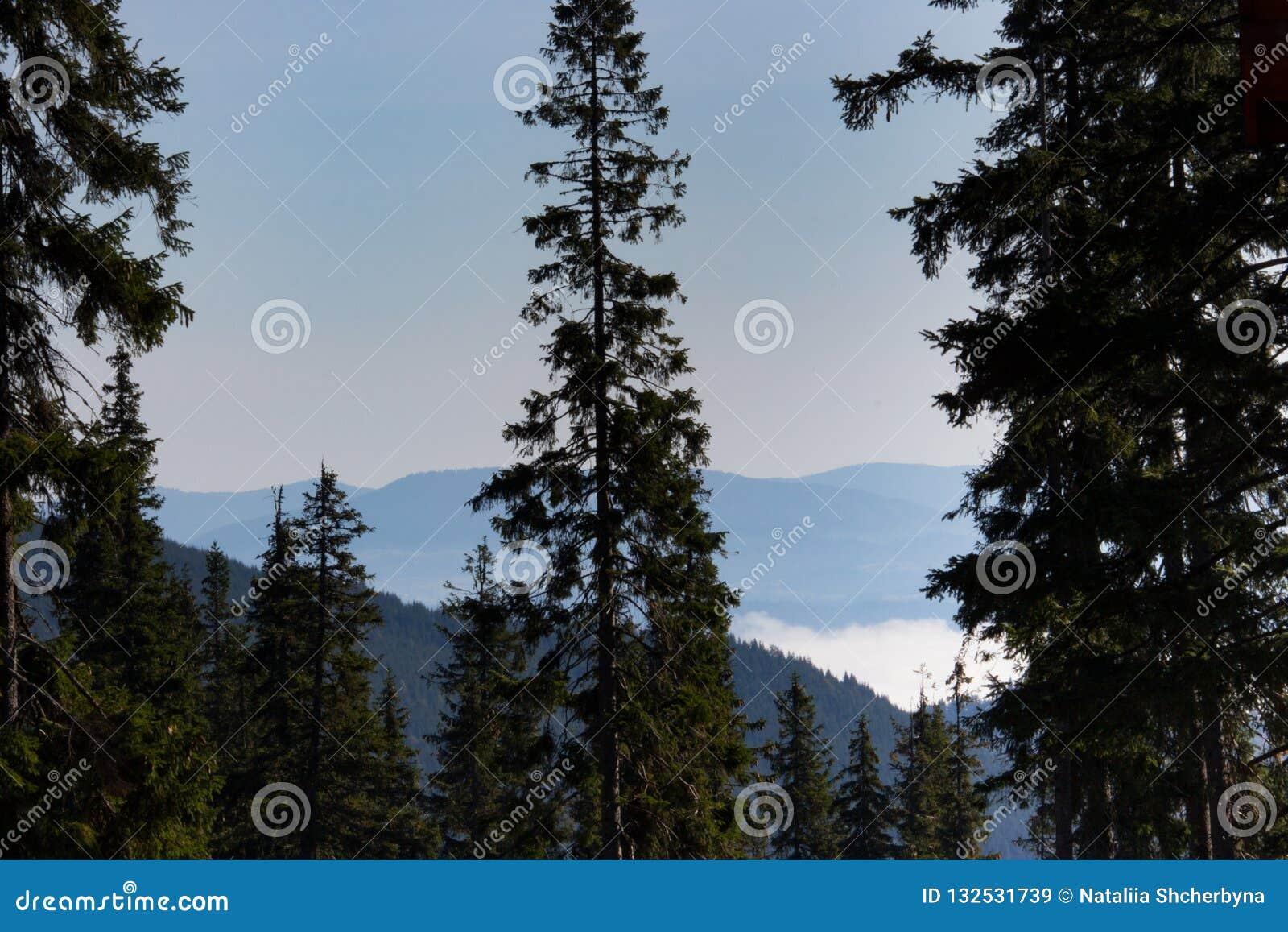 Prachtige mening van de bergen van de Karpaten met hoge naaldbomenvoorgrond Bosbergen met wolken en mist