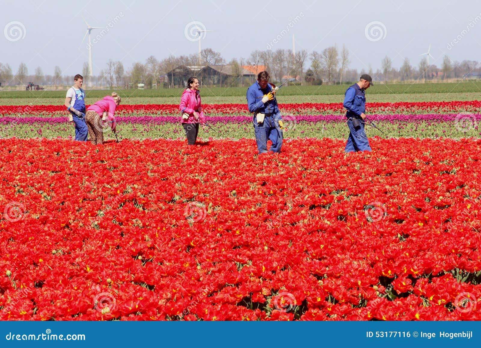 Pracownicy przy pracą w tulipanowych polach, Noordoostpolder, Flevoland, holandie