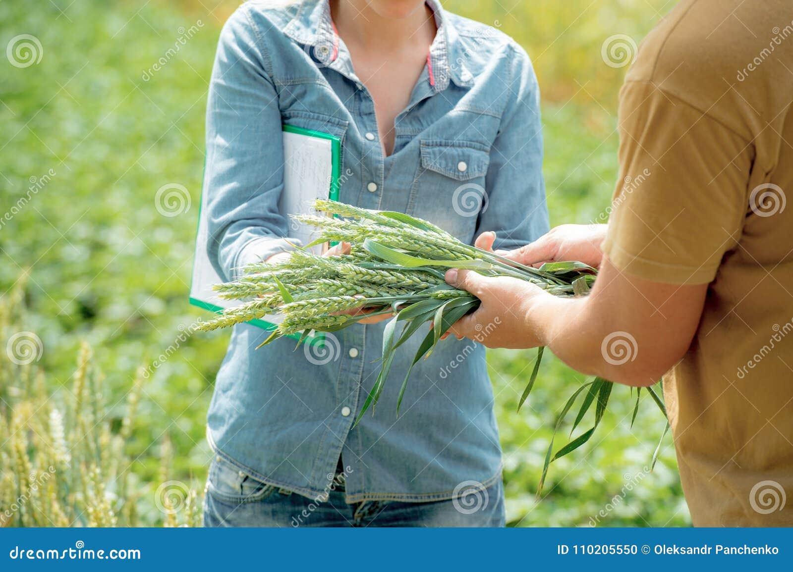 Pracownik daje snopowi banatka agronom dla analizy