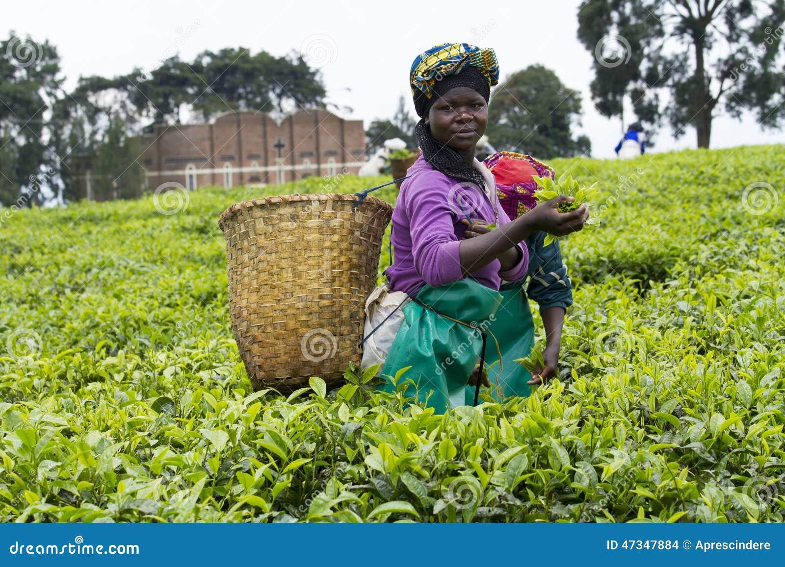 Pracownik przy herbacianą plantacją