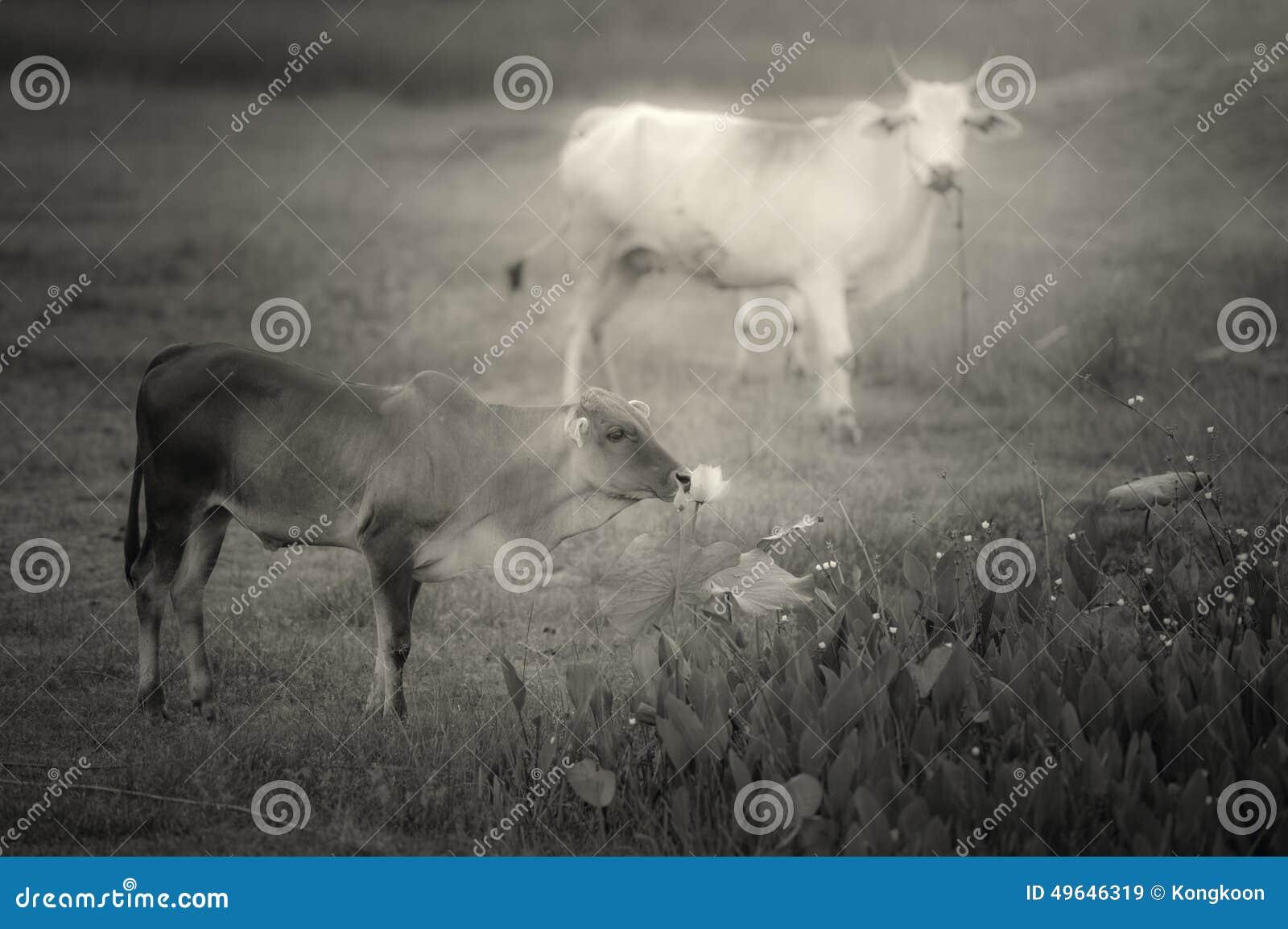 Pradera y vacas