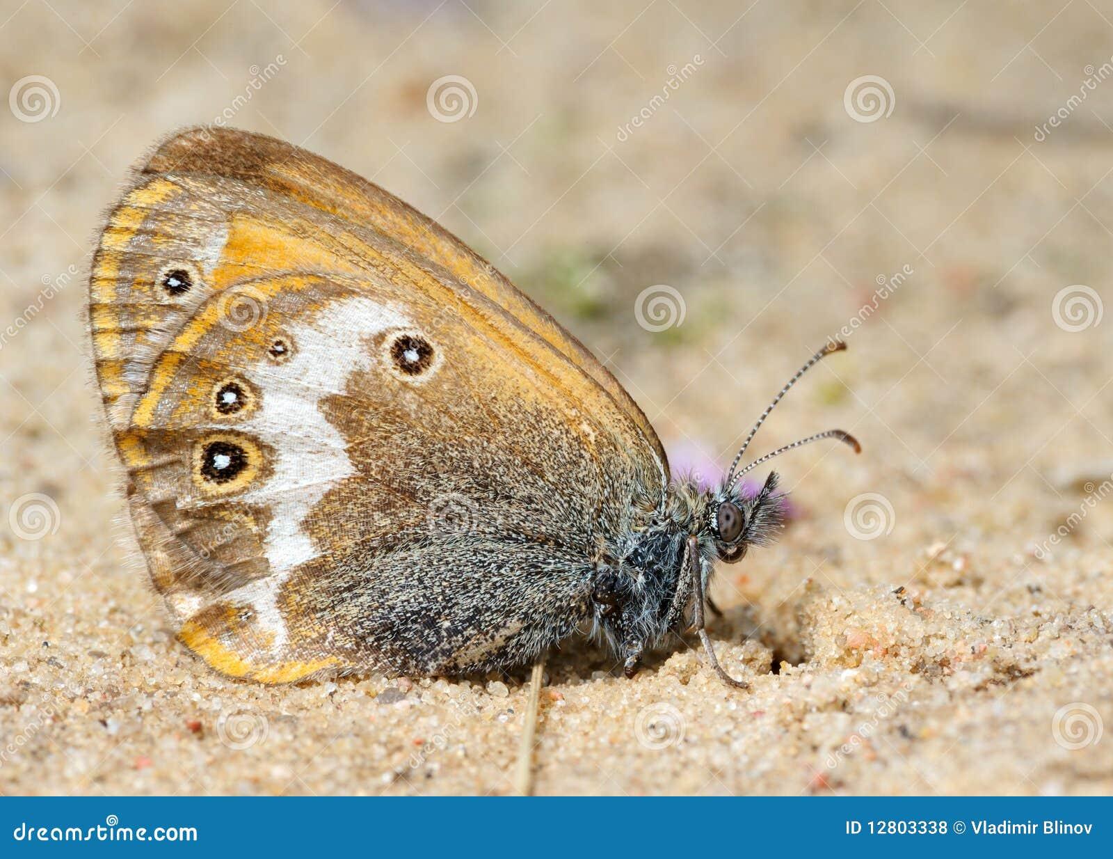 Prado Brown da borboleta na areia