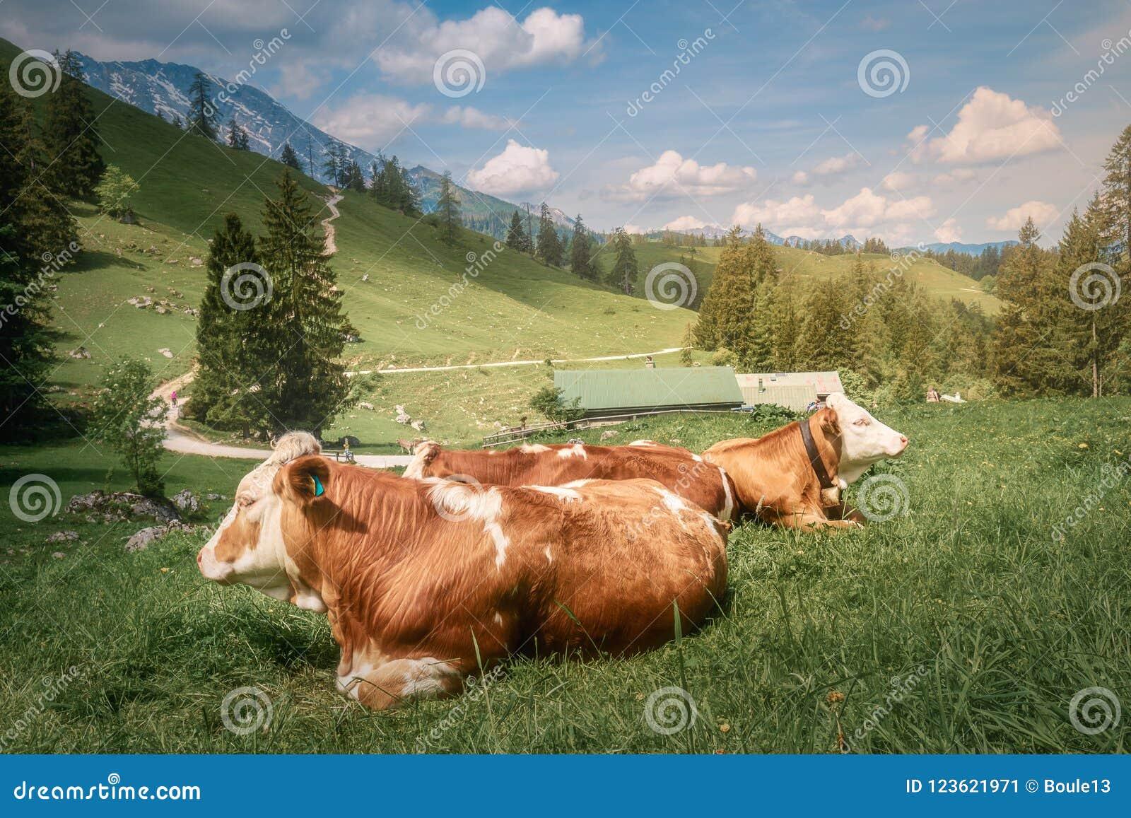 Prado com as vacas no parque nacional de Berchtesgaden