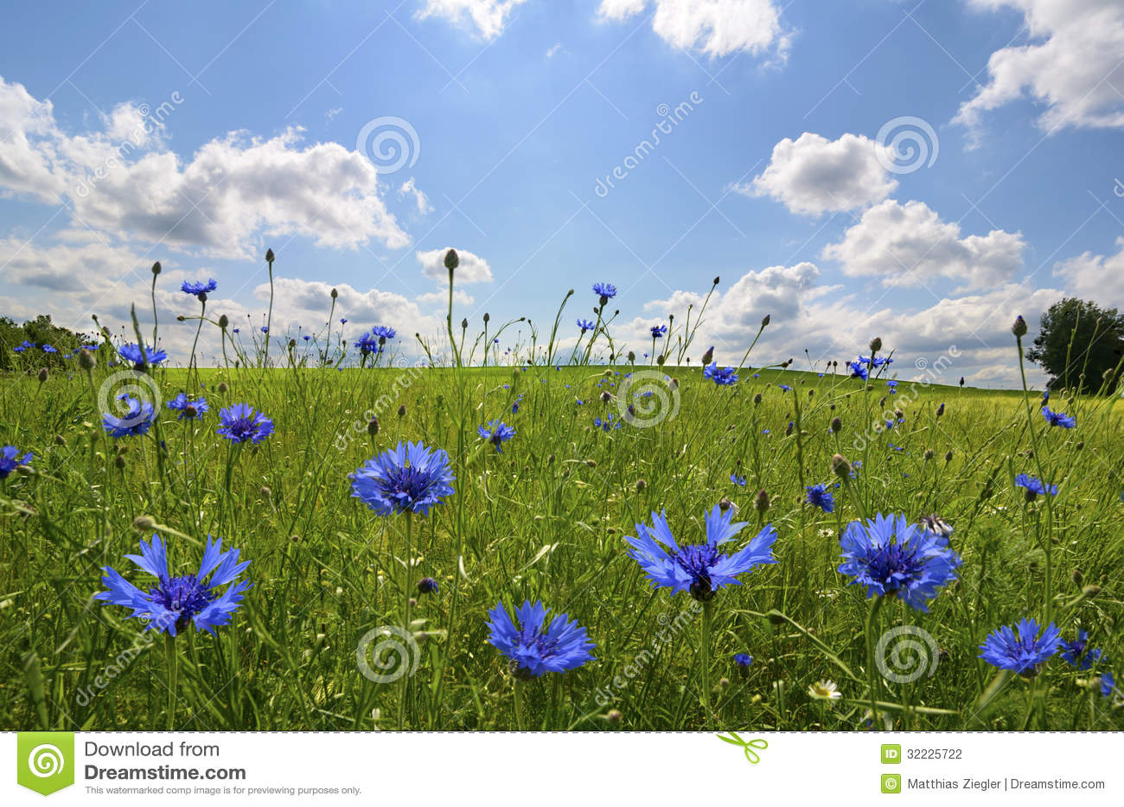 Download Prado com flores do milho foto de stock. Imagem de pasto - 32225722