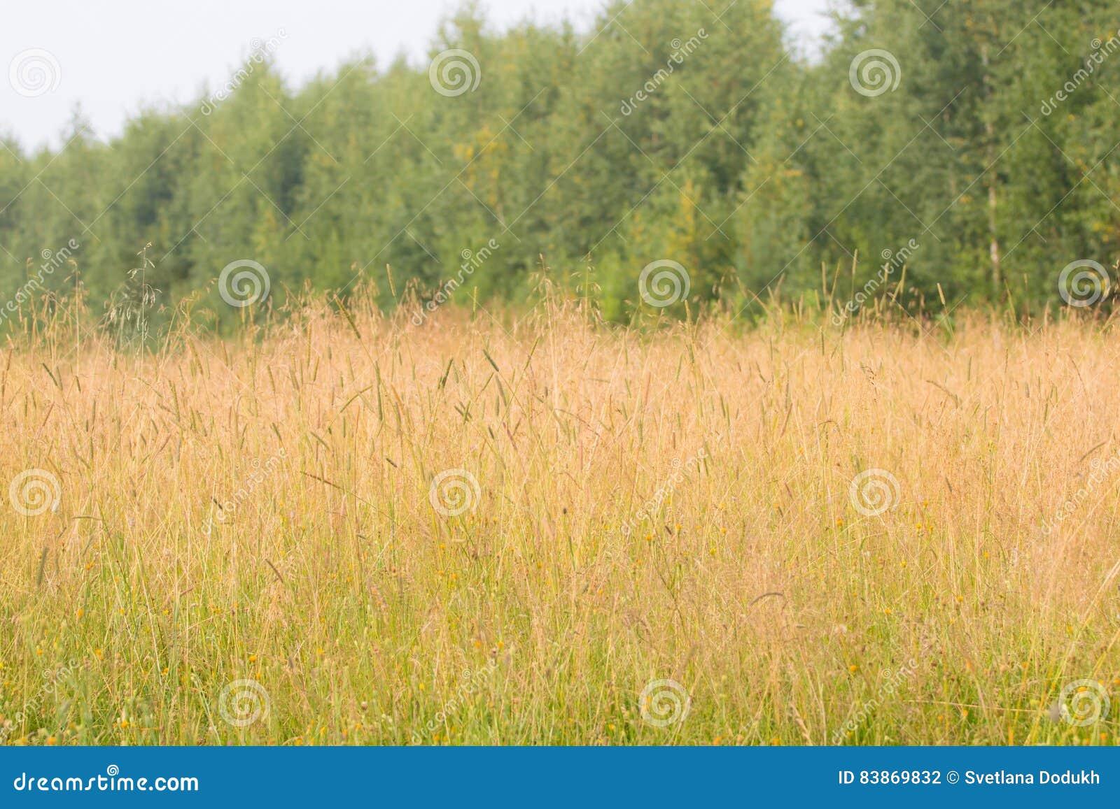 Prado com grama seca no vento no verão perto das árvores verdes